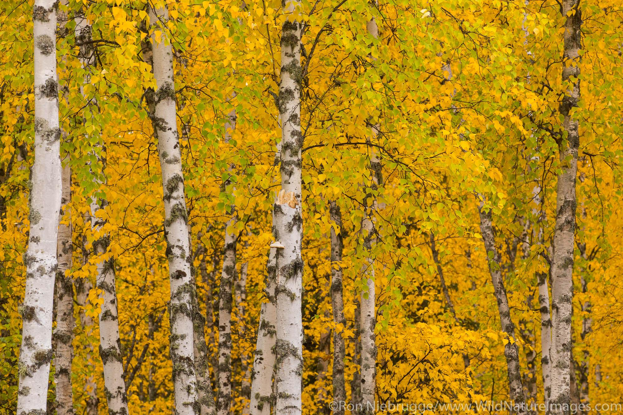 Autum in Alaska near Fairbanks, Alaska..