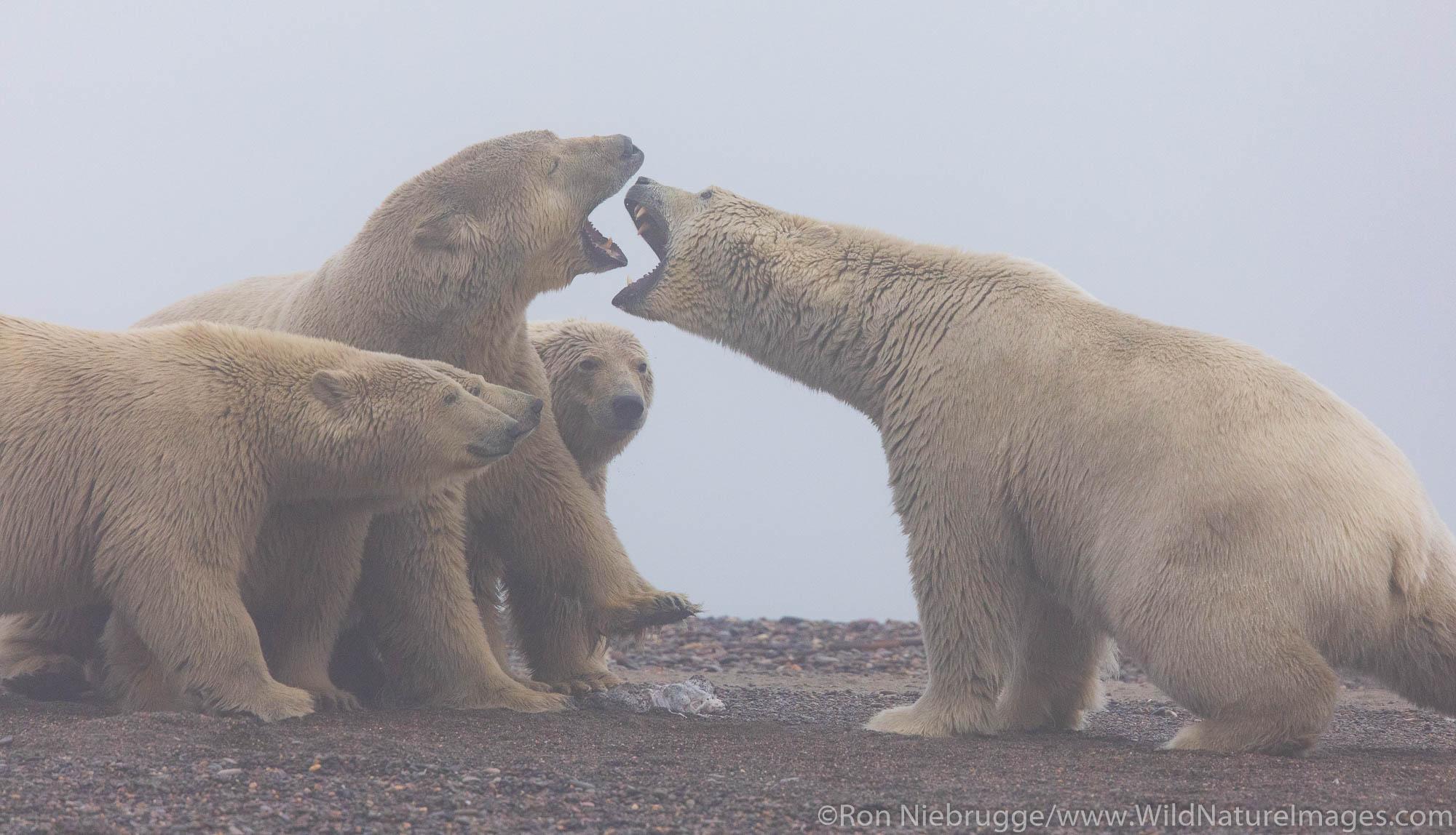 Polar Bears.  Kaktovik, Alaska.