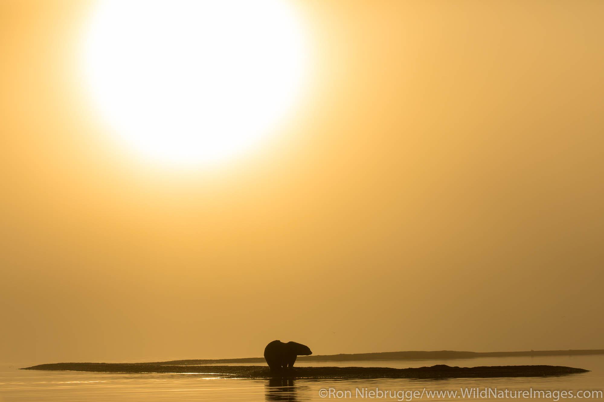Arctic, Alaska, polar bears, bear, photos, Arctic National Wildlife Refuge, ANWR, photo