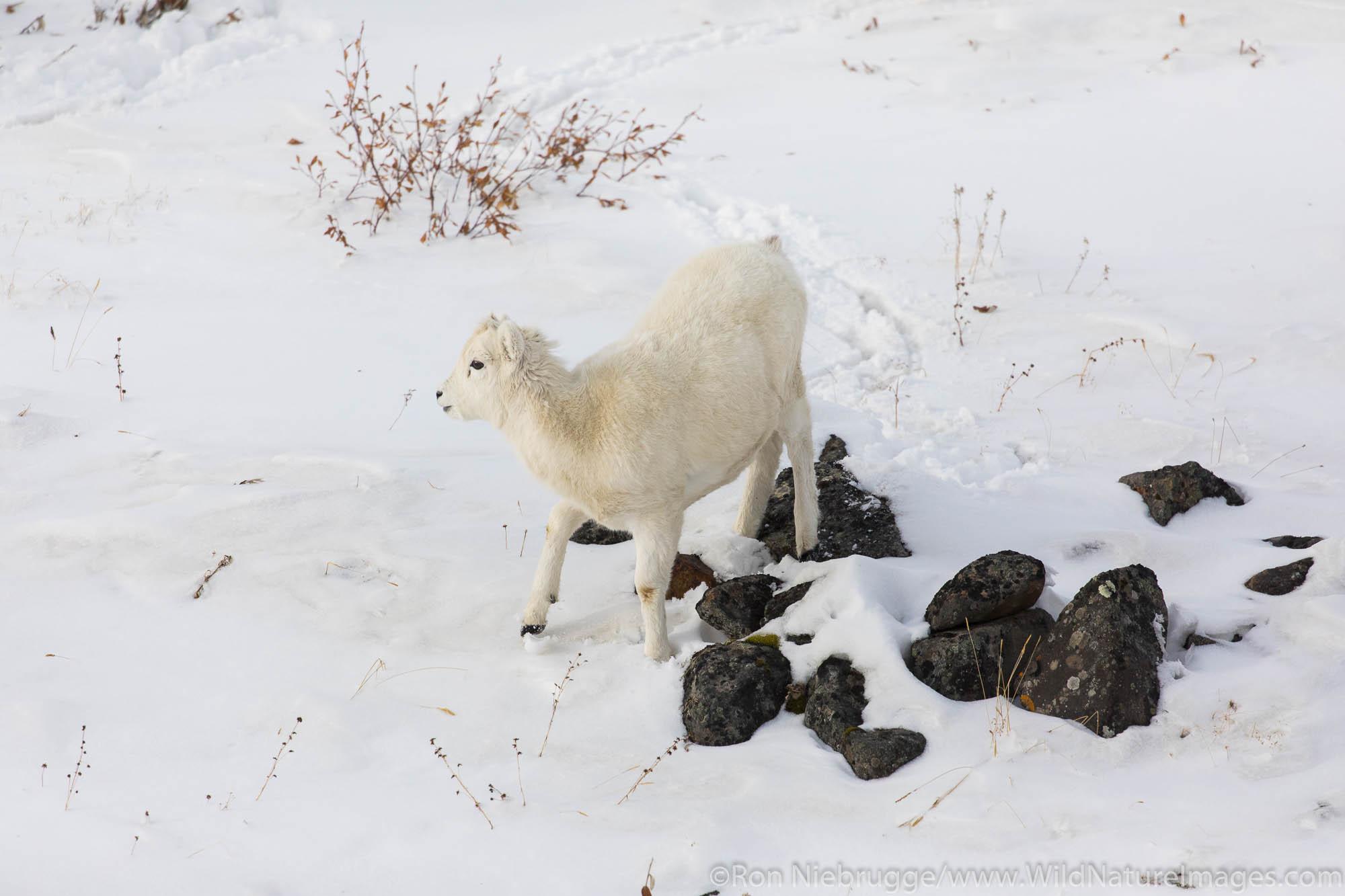 Dall Sheep lamb in Atigun Pass in the  Brooks Range, Alaska