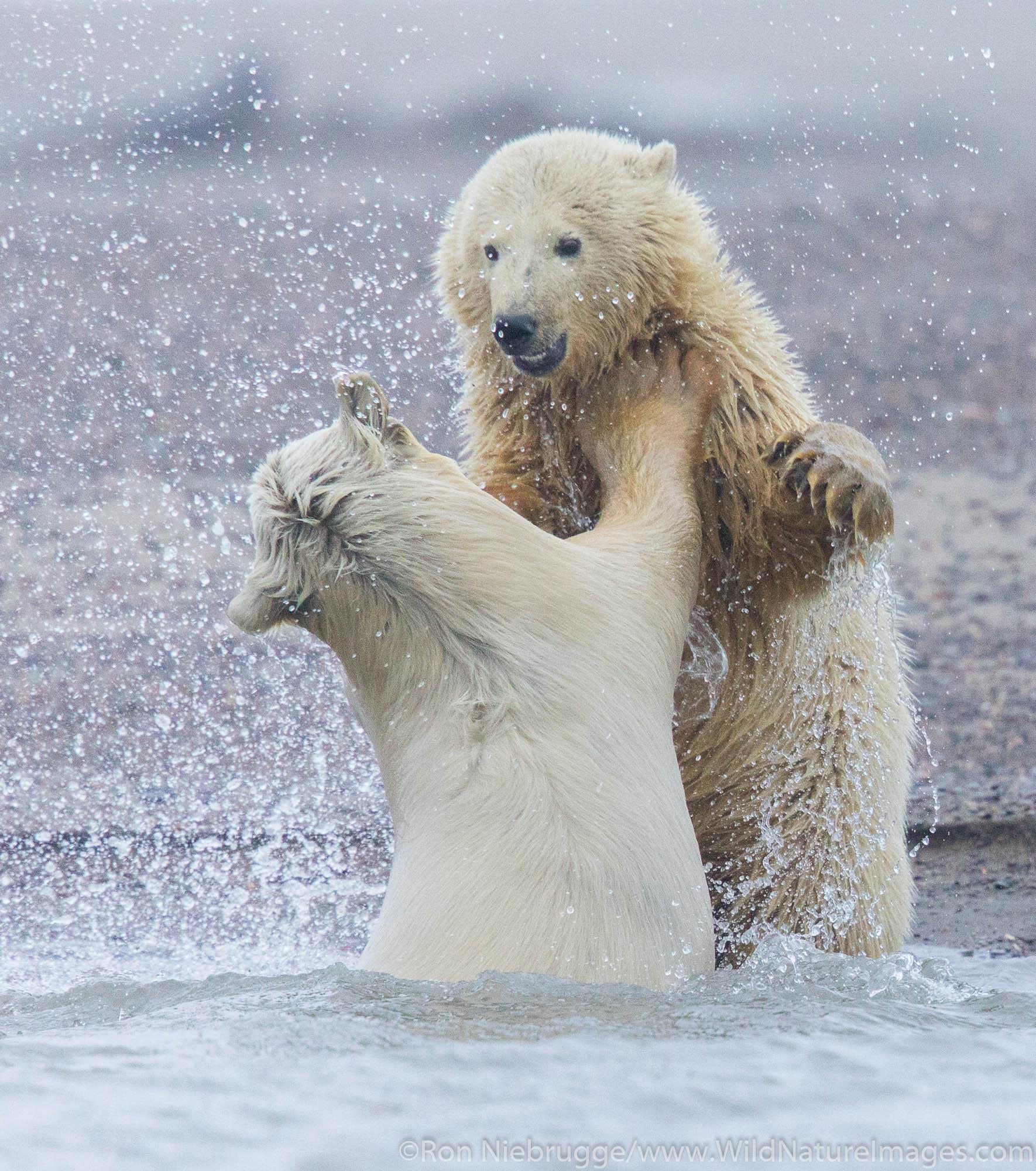 Arctic, Alaska, polar bear, bear, photos, Arctic National Wildlife Refuge, ANWR, photo
