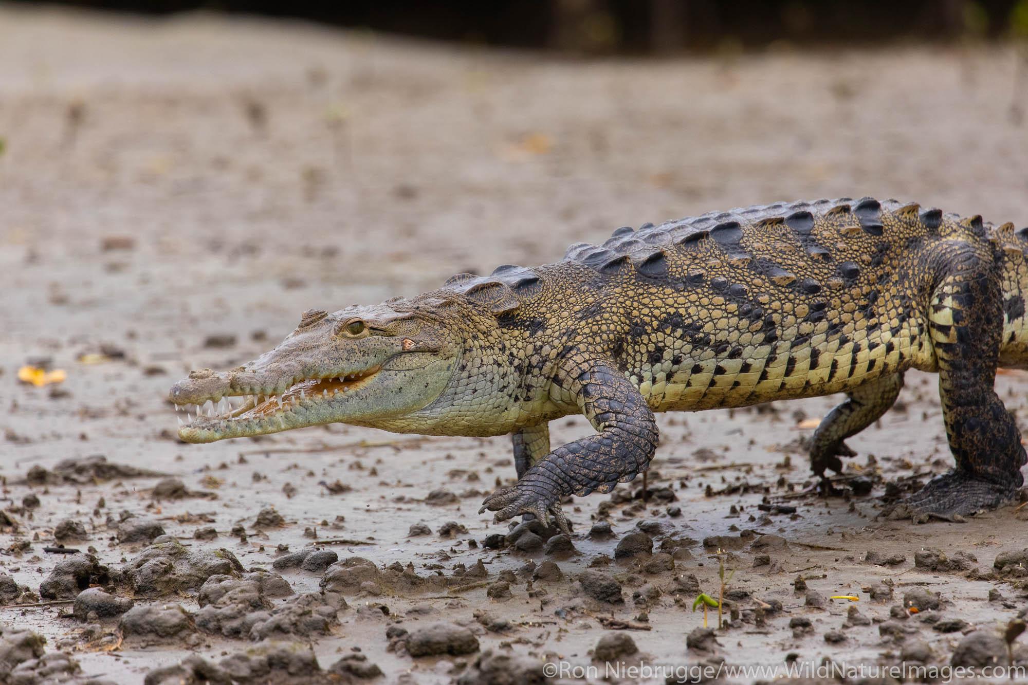 American Crocodile in mangrove estuary near Tamarindo, Costa Rica