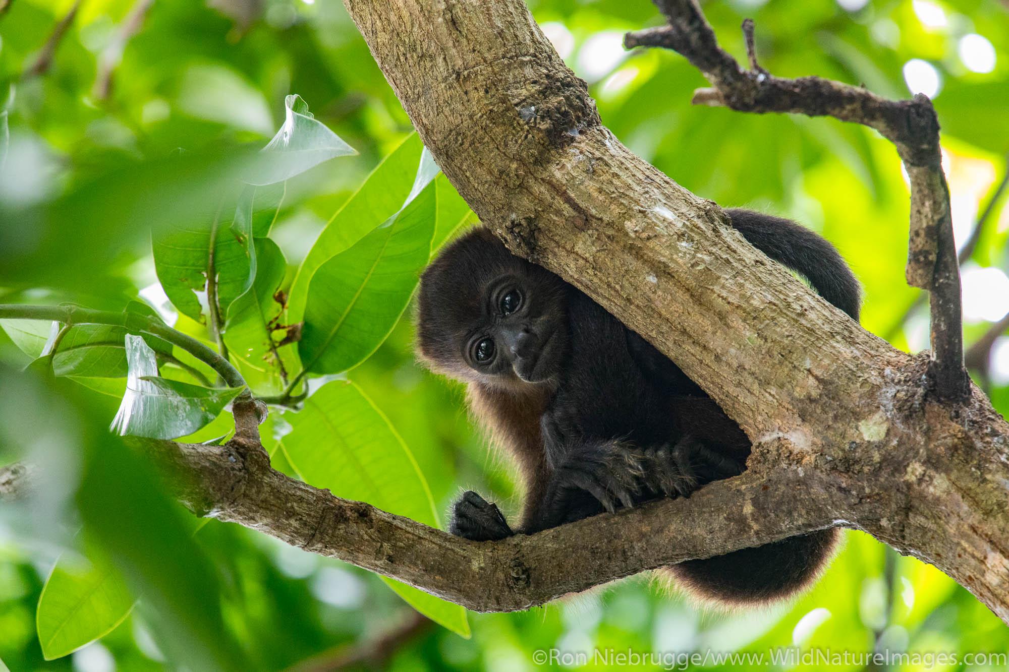 Howler monkey, Tamarindo, Costa Rica