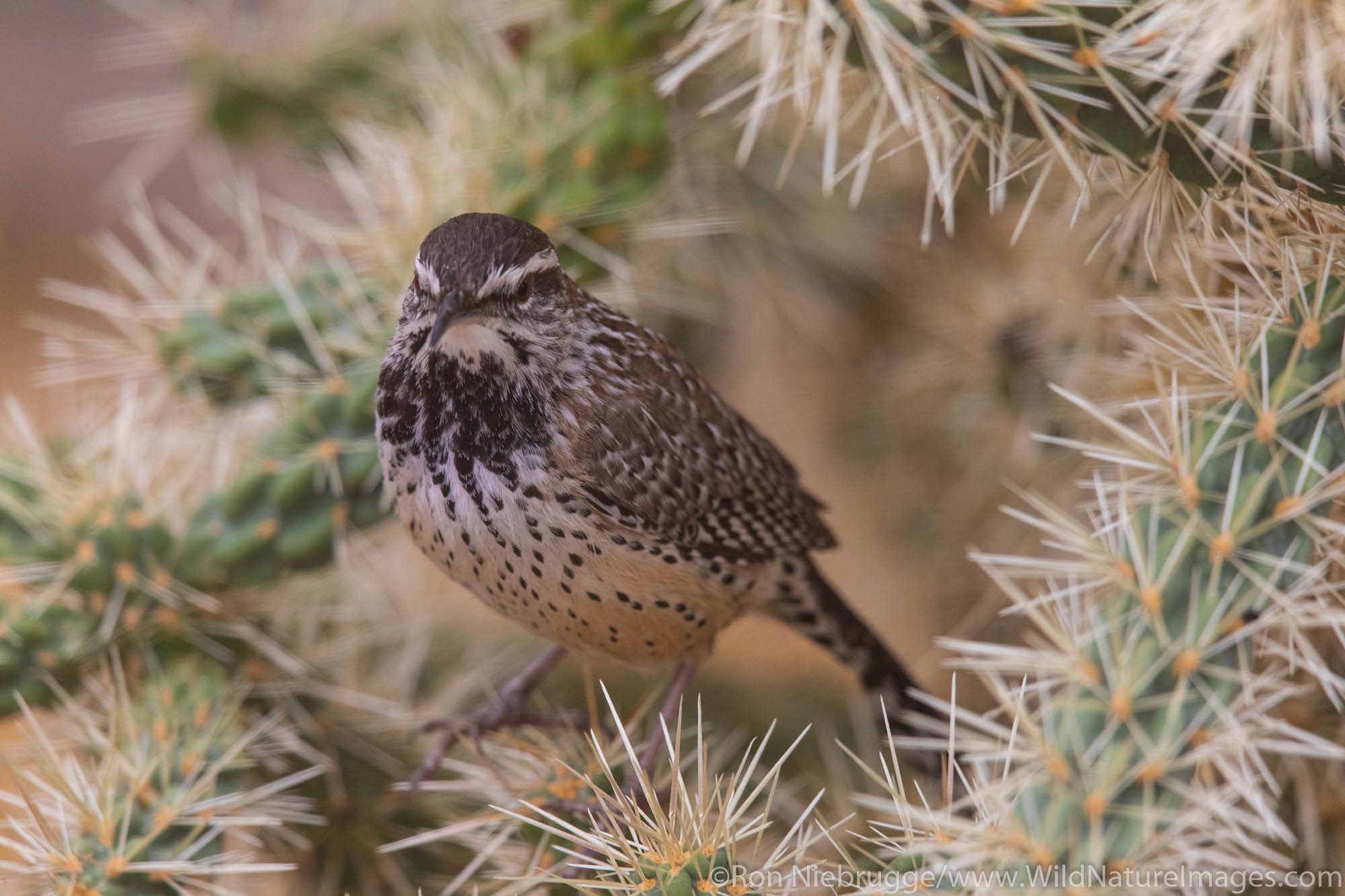 Cactus Wren, Tortolita Mountains, Marana, near Tucson, Arizona.