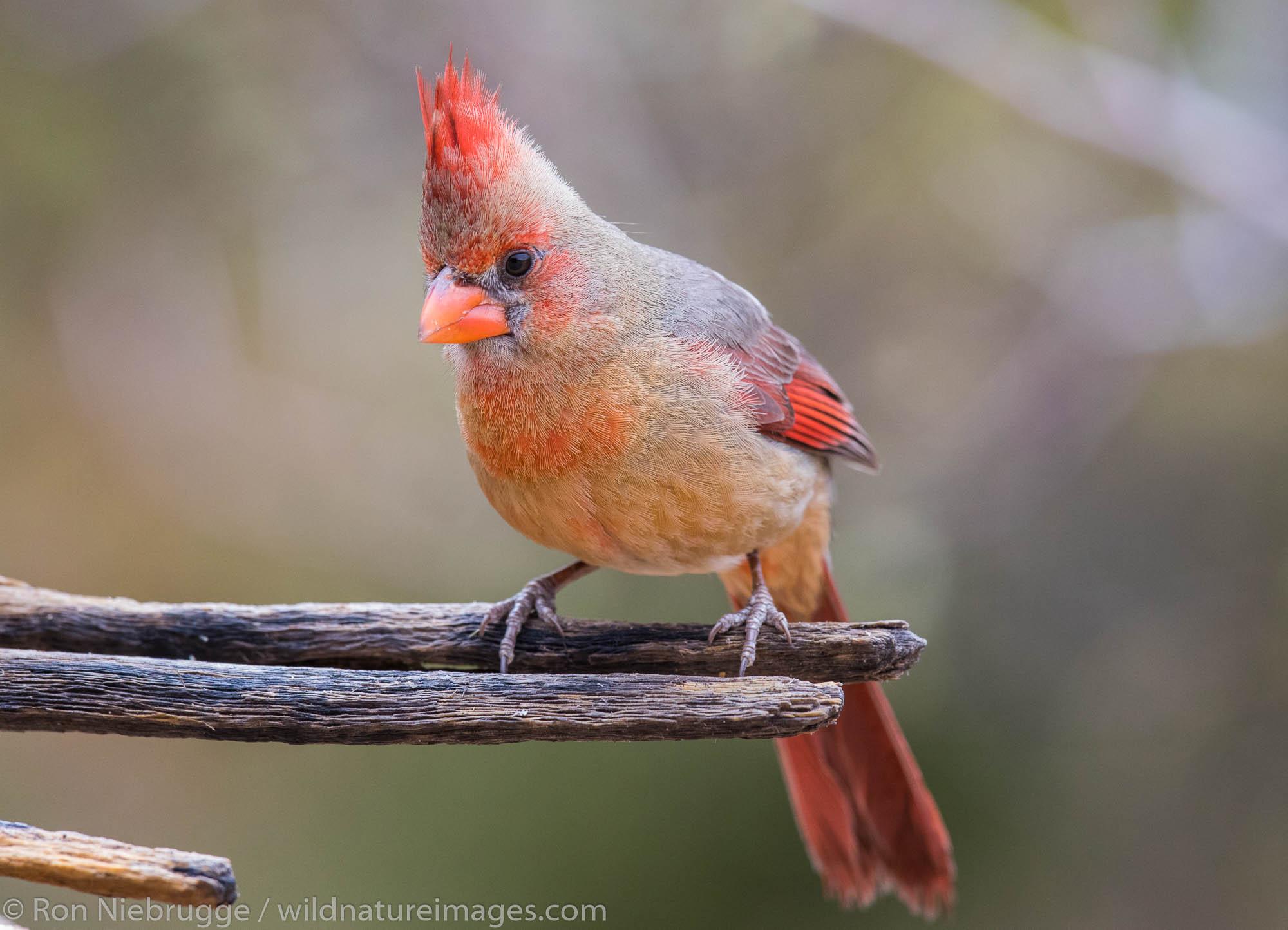 Female Cardinal, Arizona.