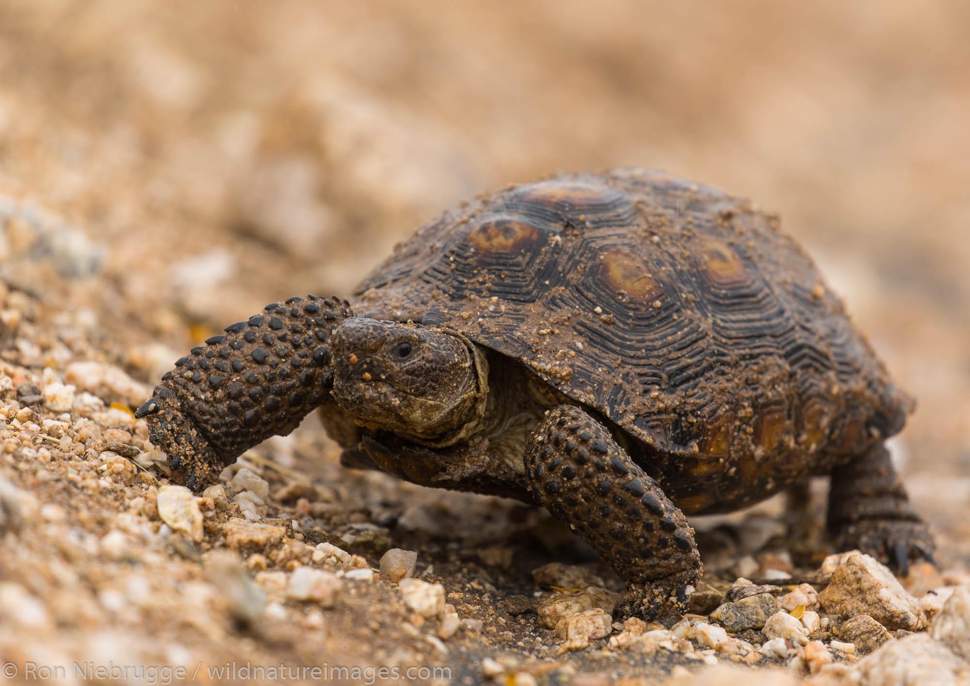 Desert Tortoise, Marana, Arizona