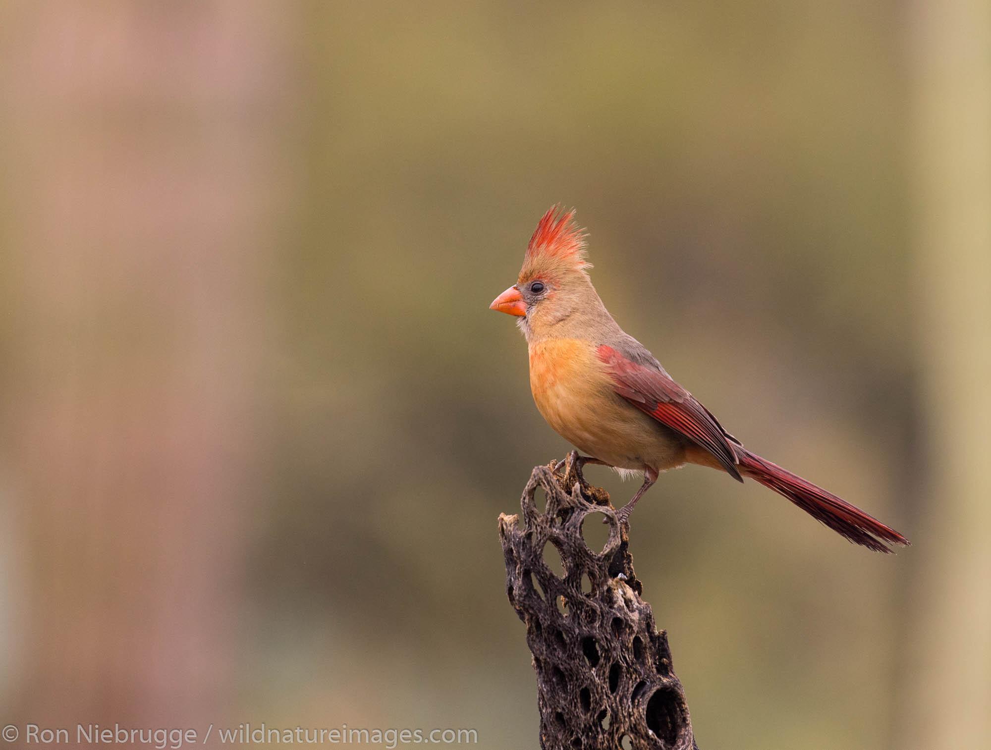 Female Northern Cardinal, Tortolita Mountains, Marana, near Tucson, Arizona.