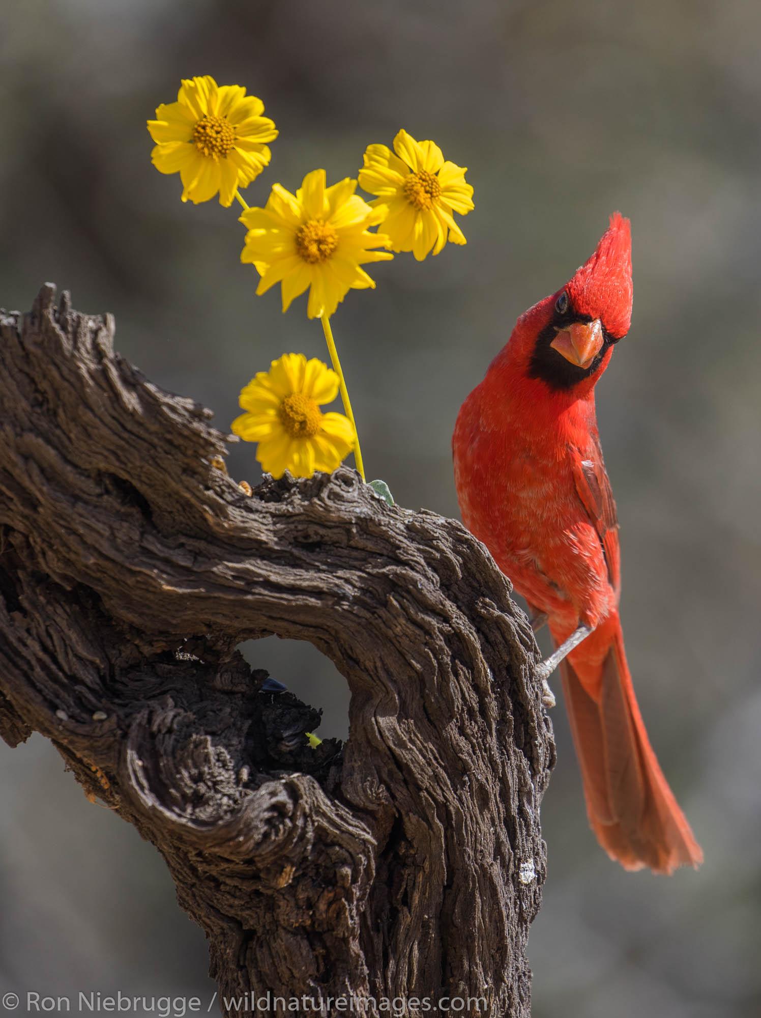 Northern Cardinal, Marana, near Tucson, Arizona.