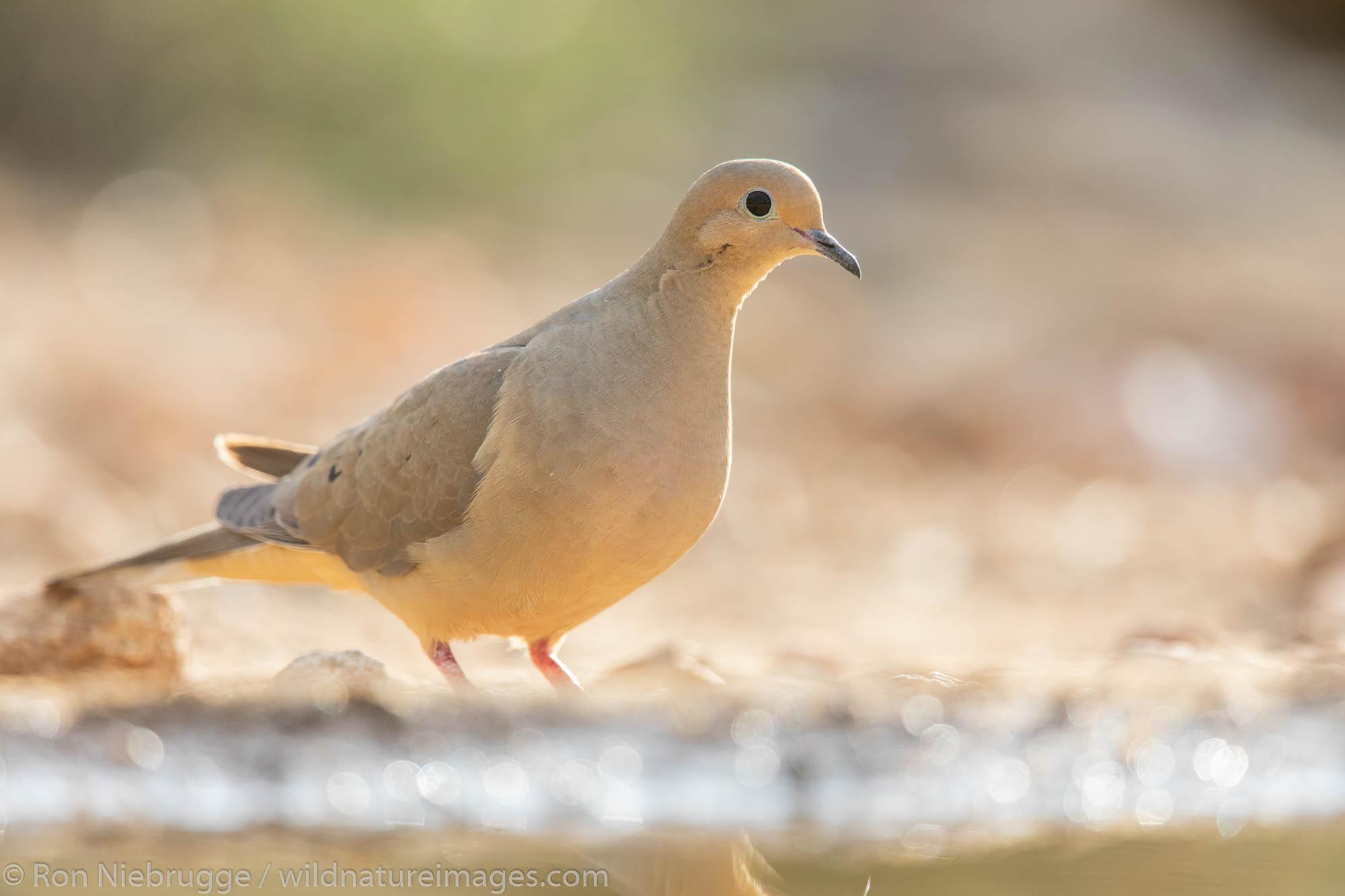 Mourning Dove, Marana, near Tucson, Arizona.