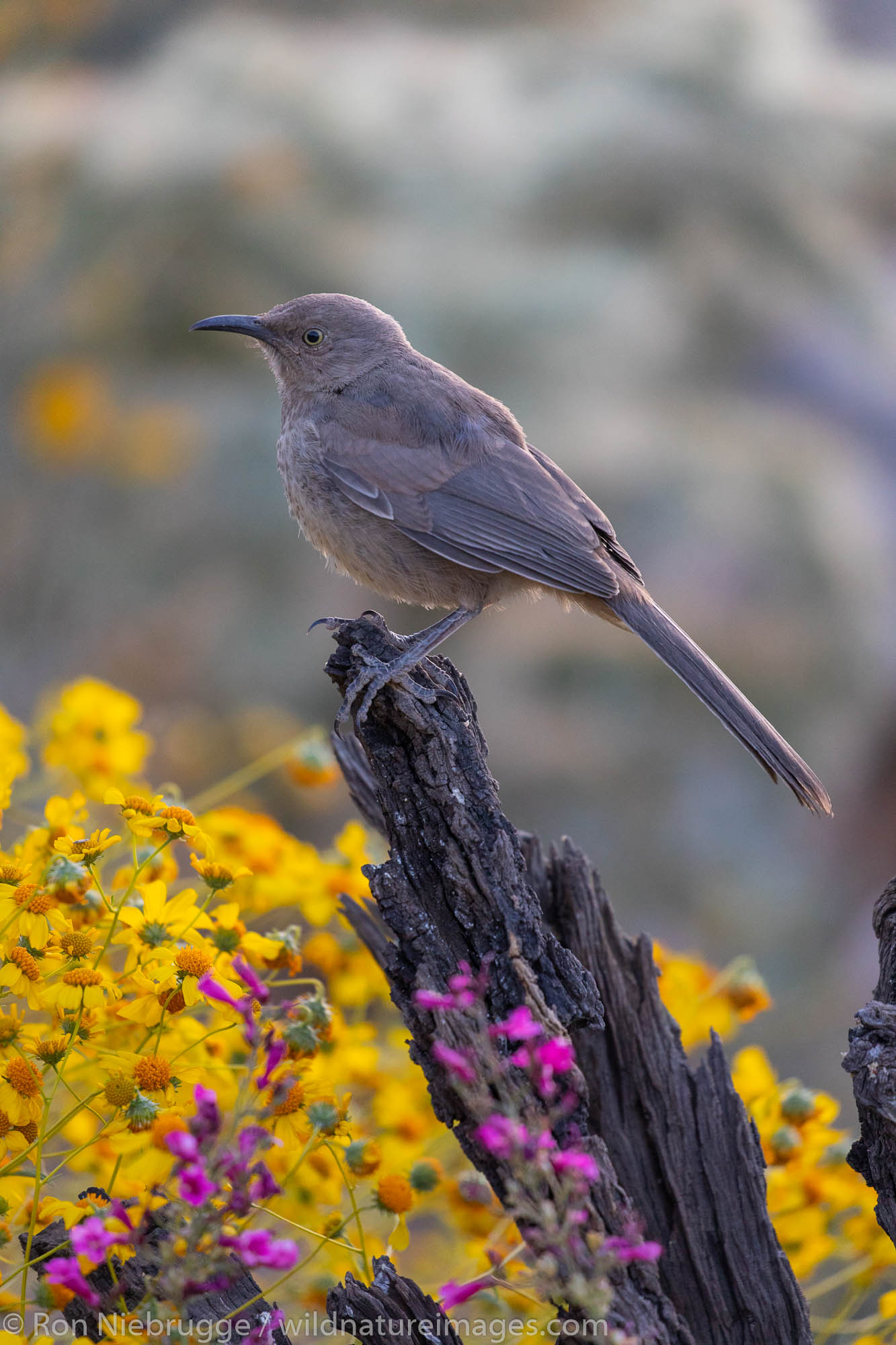 Tucson, Arizona, bird, photos, photo