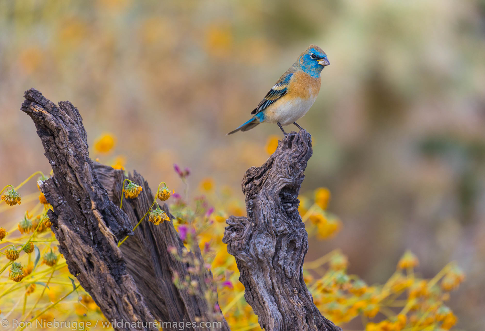 Lazuli Bunting, Tortolita Mountains, Tucson, Arizona
