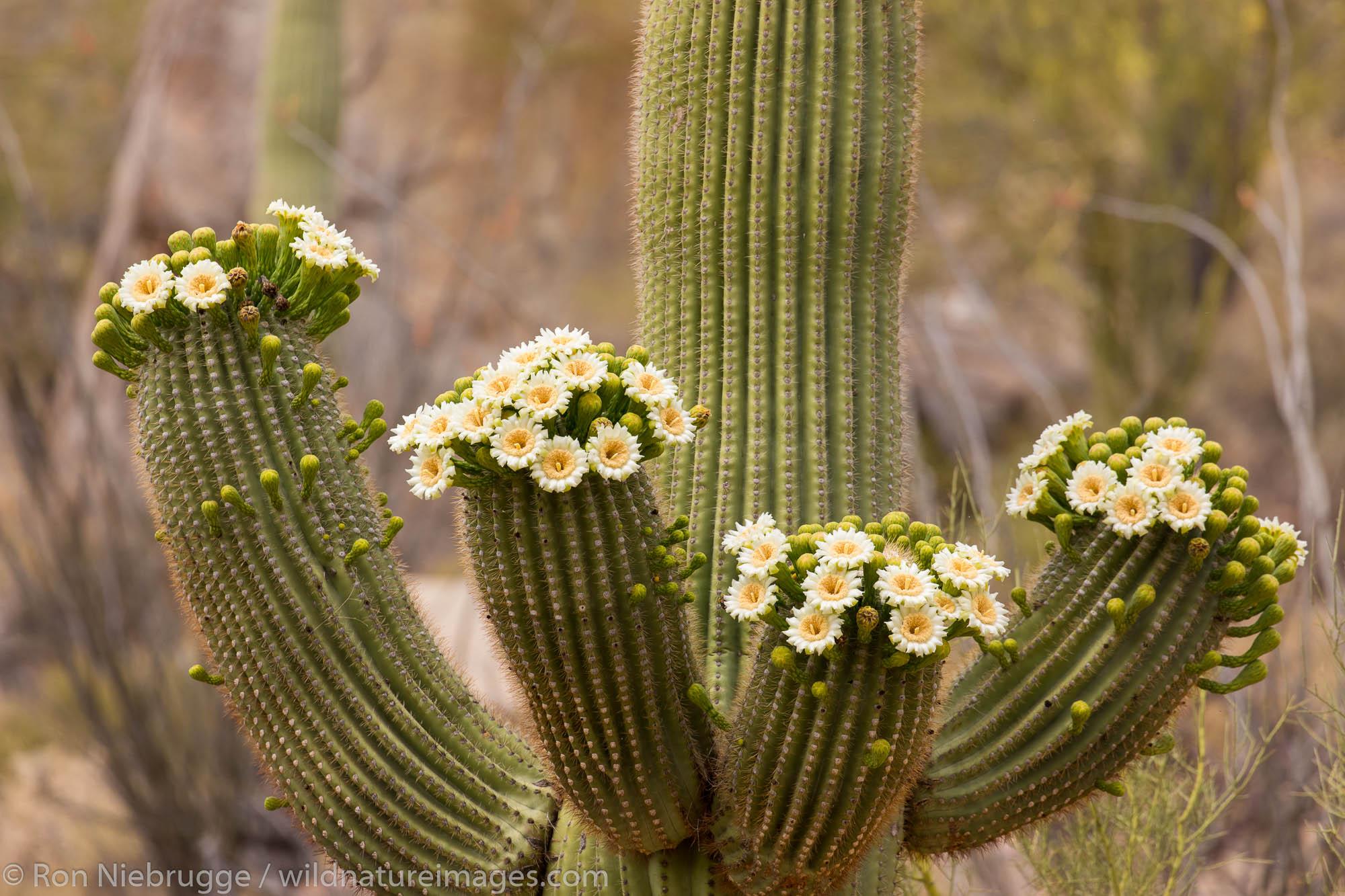 Blooming saguaro cactus.  Tortolita Mountains, Marana, near Tucson, Arizona.