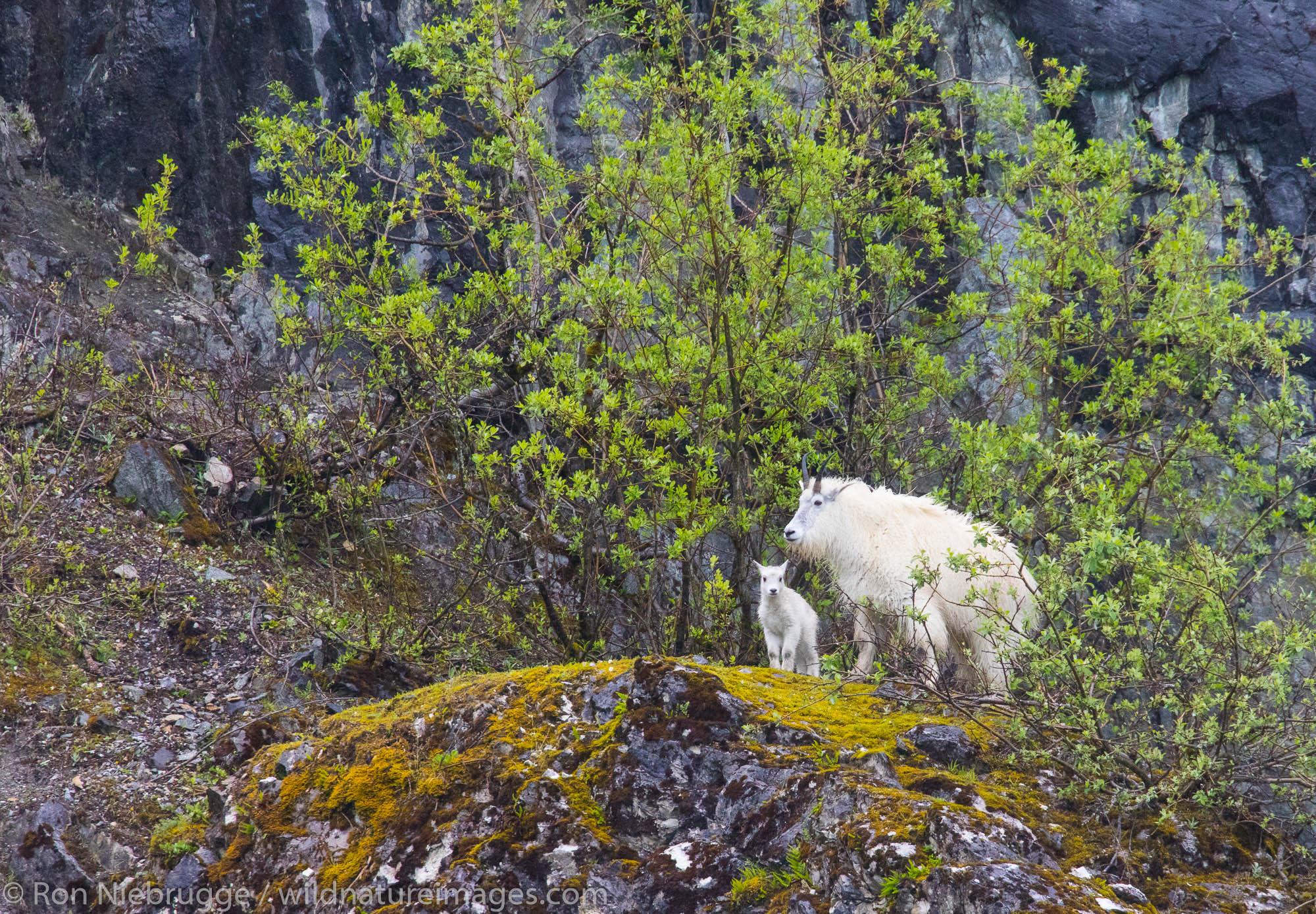 Mountain goats, Glacier Bay National Park, Alaska.