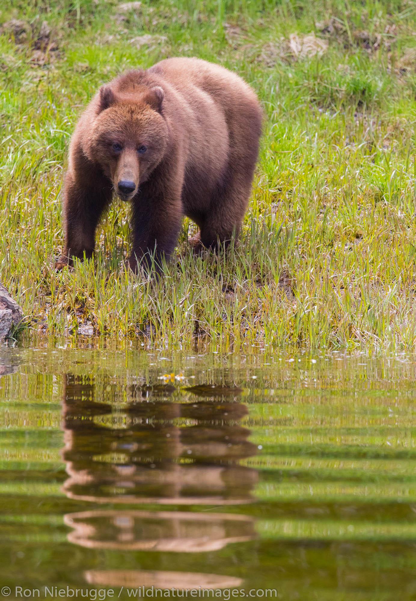Brown Bear, Tongass National Forest, Alaska.