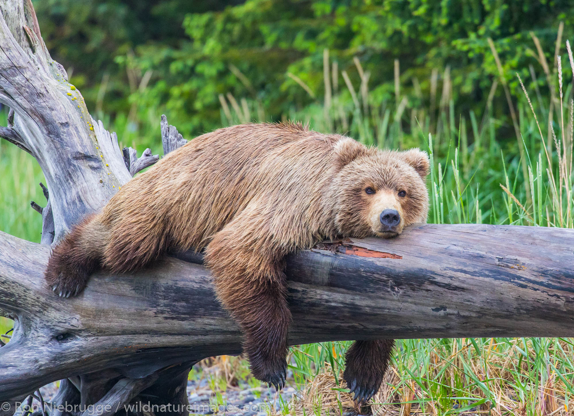 Lake Clark National Park, Alaska, brown bear, grizzly, bear, photos, photo