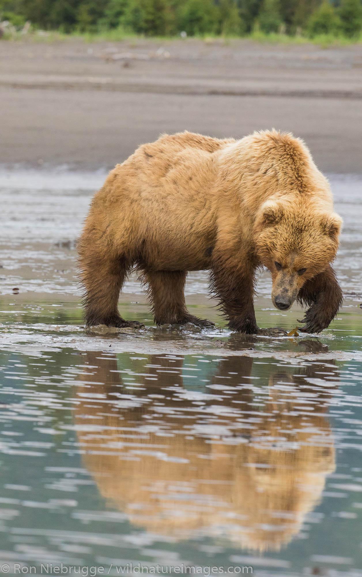 Brown / Grizzly Bear, Lake Clark National Park, Alaska.