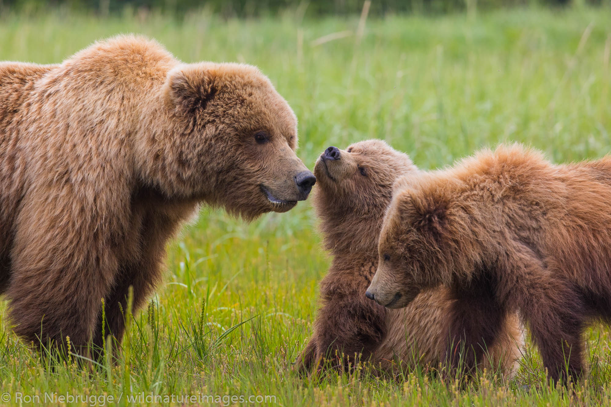 Brown Bear with cubs, Lake Clark National Park, Alaska.