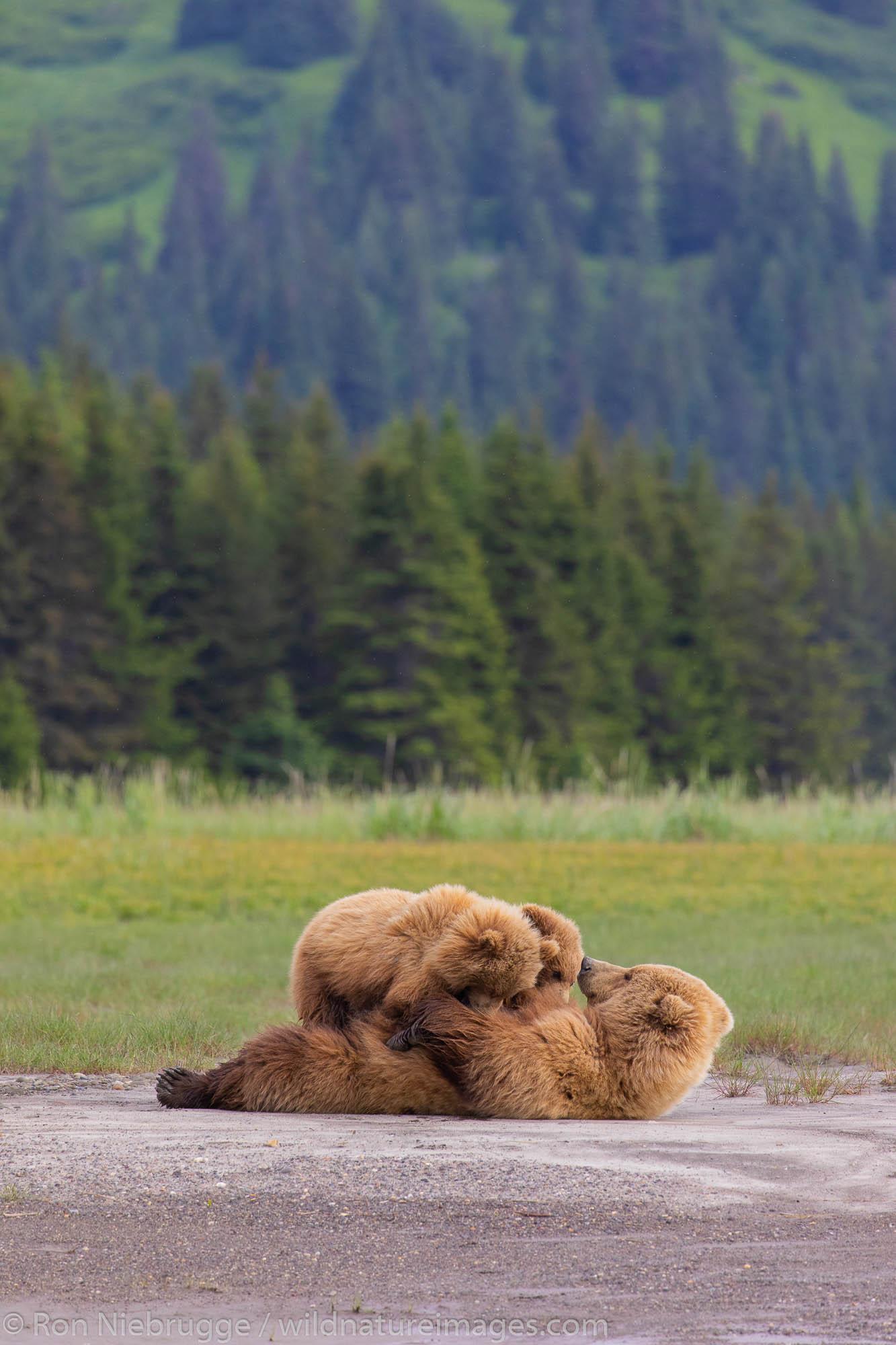 Nursing Brown bear, Lake Clark National Park, Alaska.