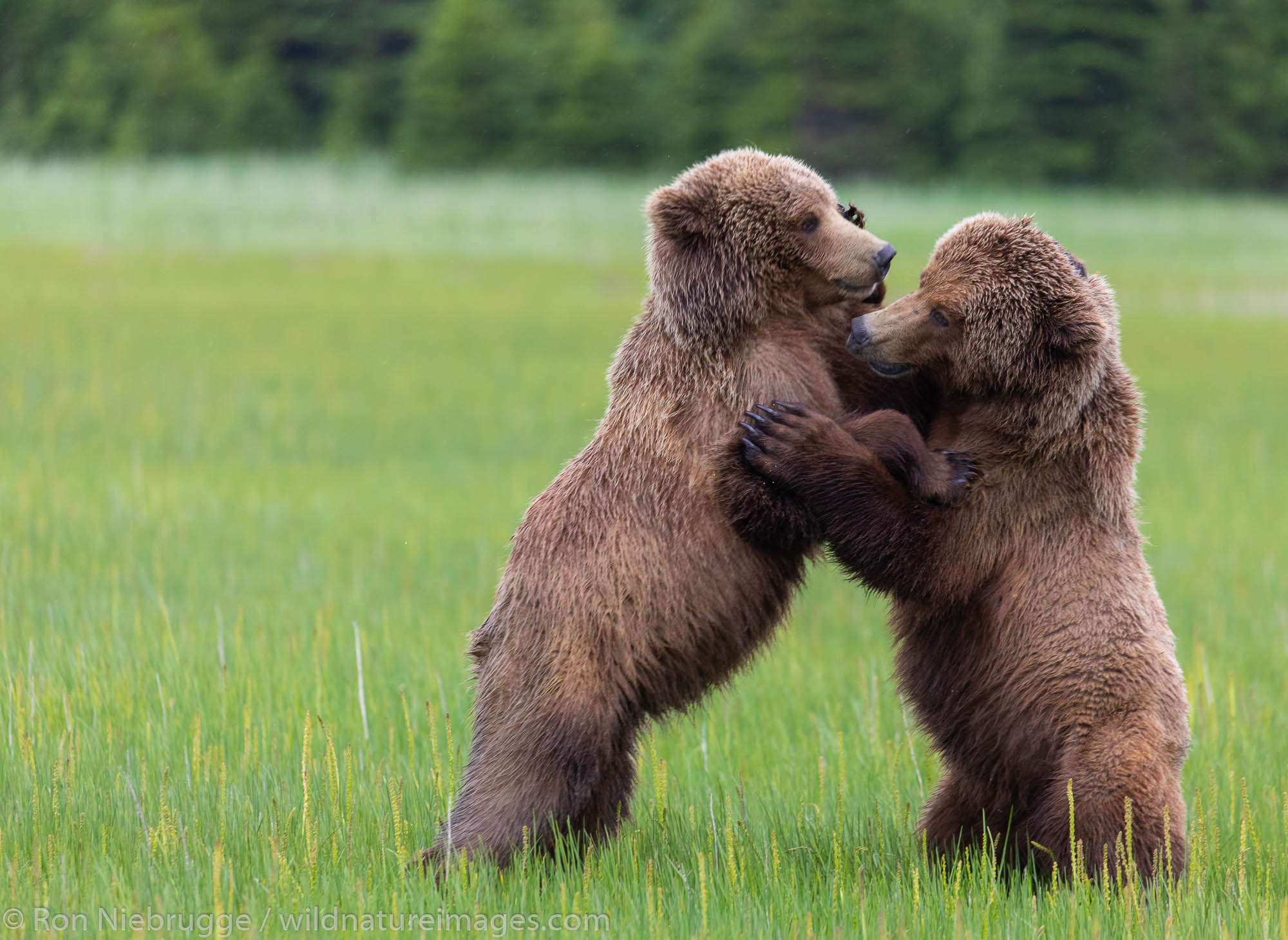 Playful brown bear cubs, Lake Clark National Park, Alaska.