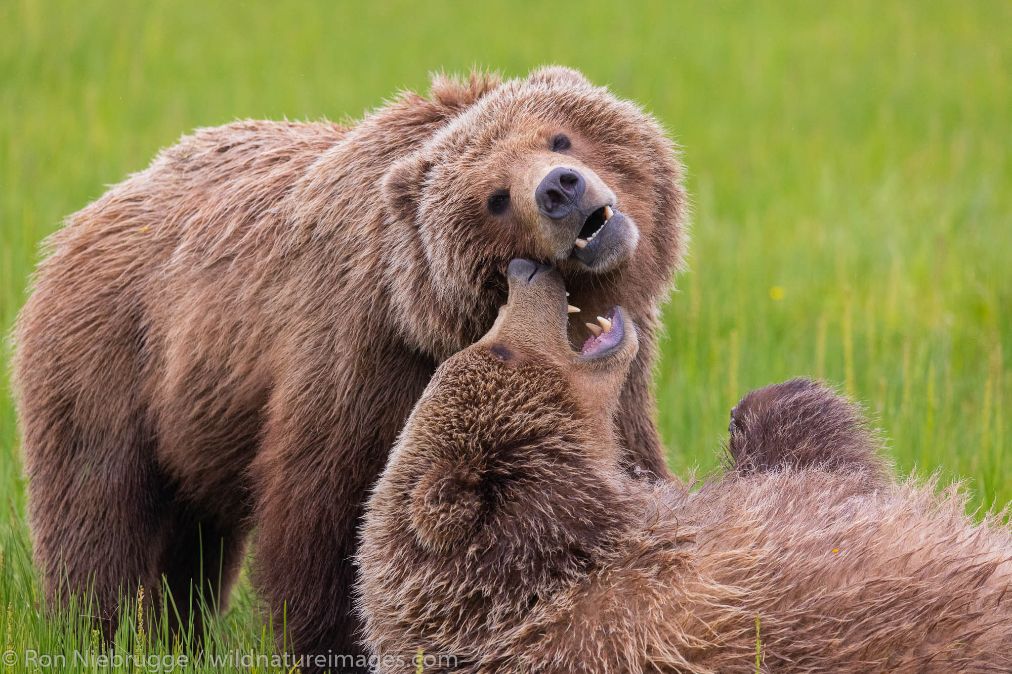 Grizzly Bear cubs playing, Lake Clark National Park, Alaska.
