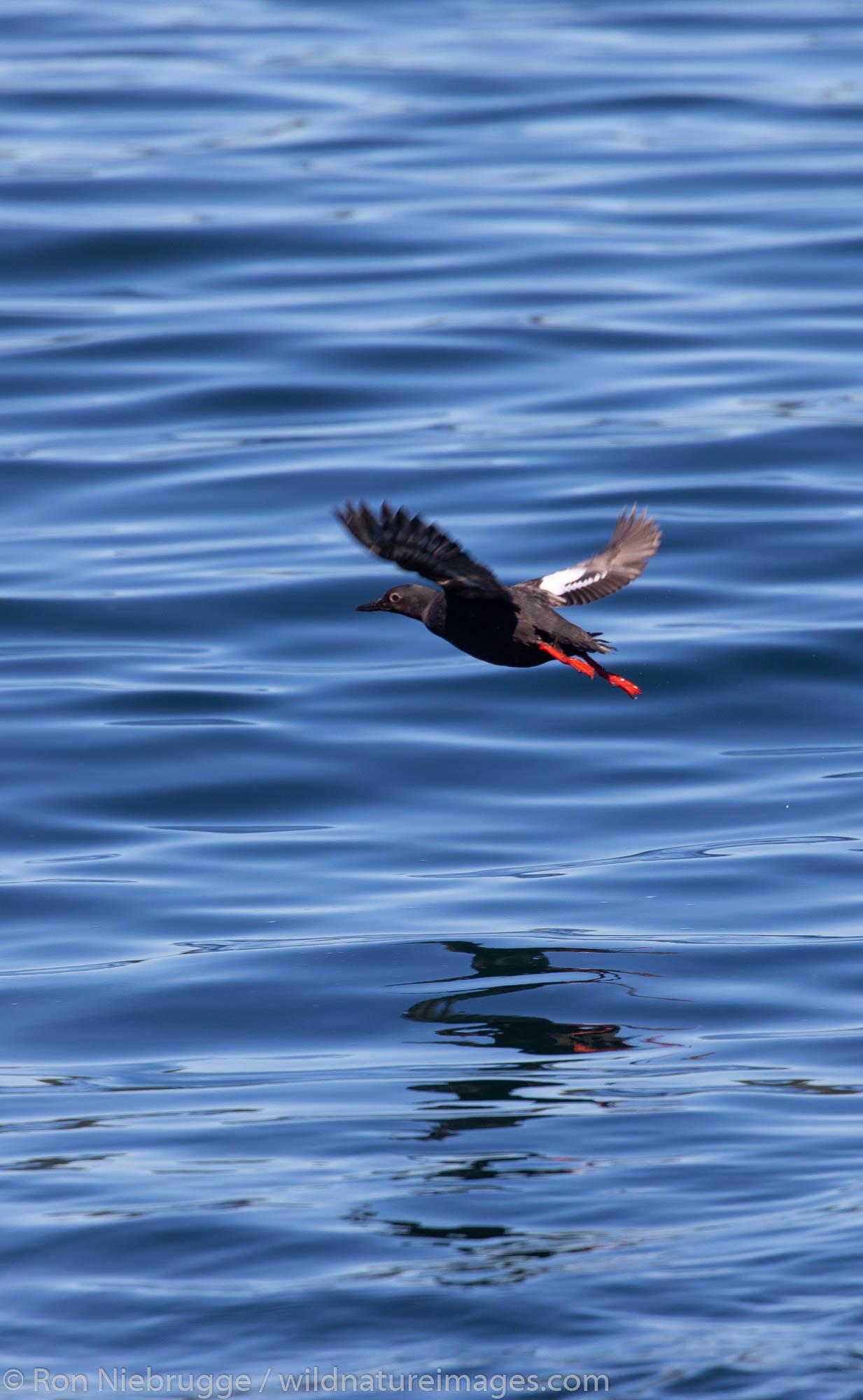 Pigeon Guillemot, Tongass National Forest, Alaska.