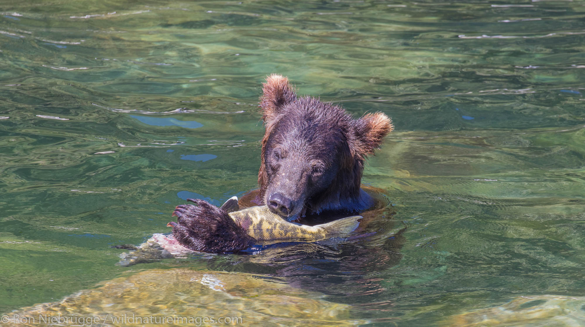Grizzly Bear, Tongass National Forest, Alaska.