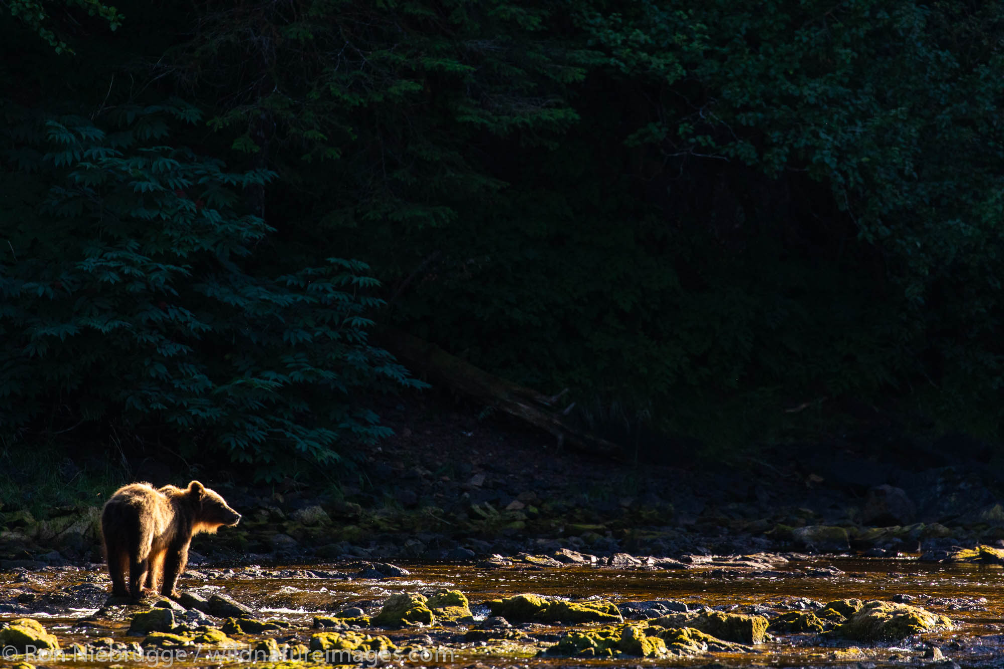 Brown beae, Chichagof Island, Tongass National Forest, Alaska.