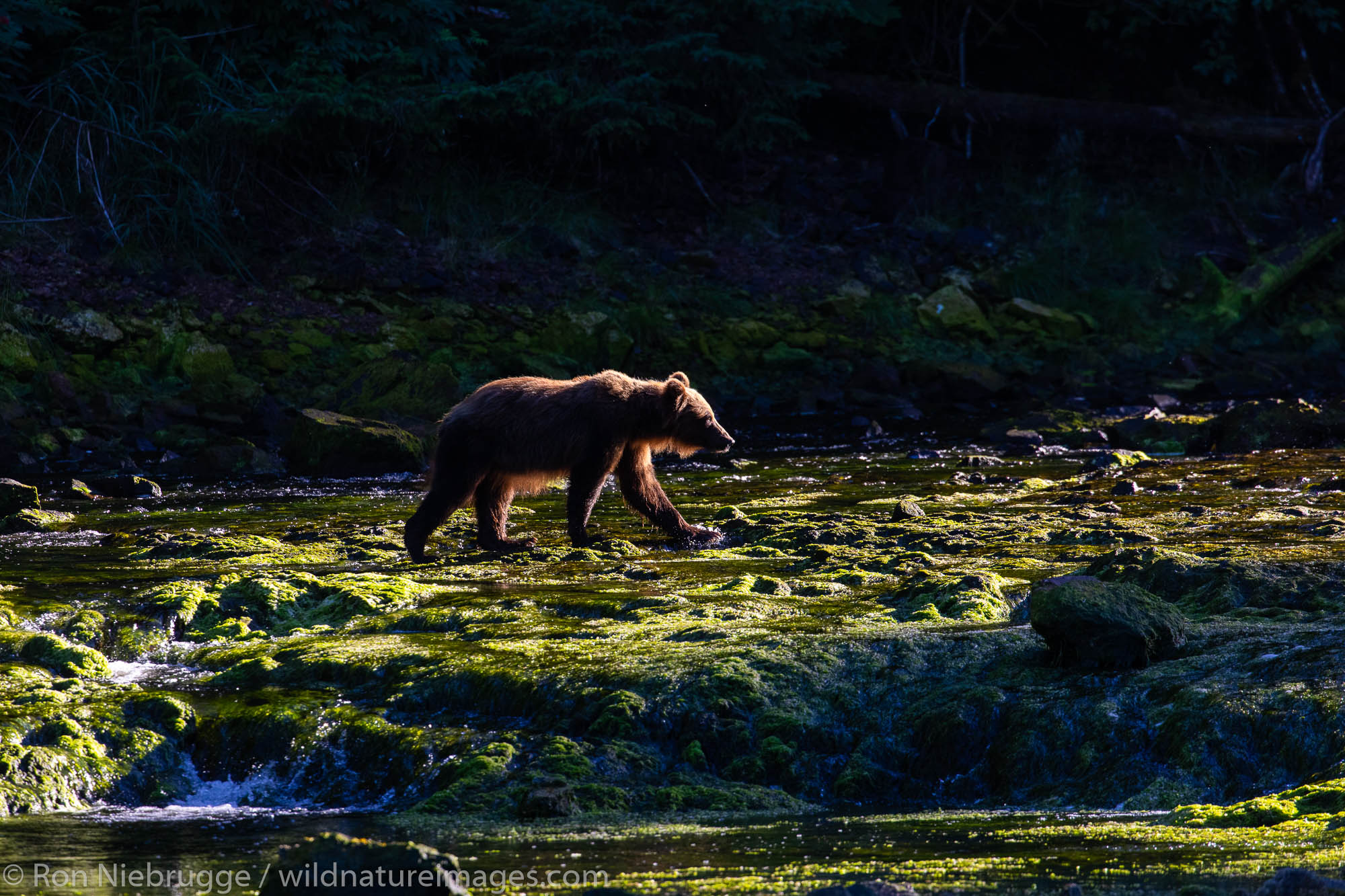 Brown bear, Chichagof Island, Tongass National Forest, Alaska.