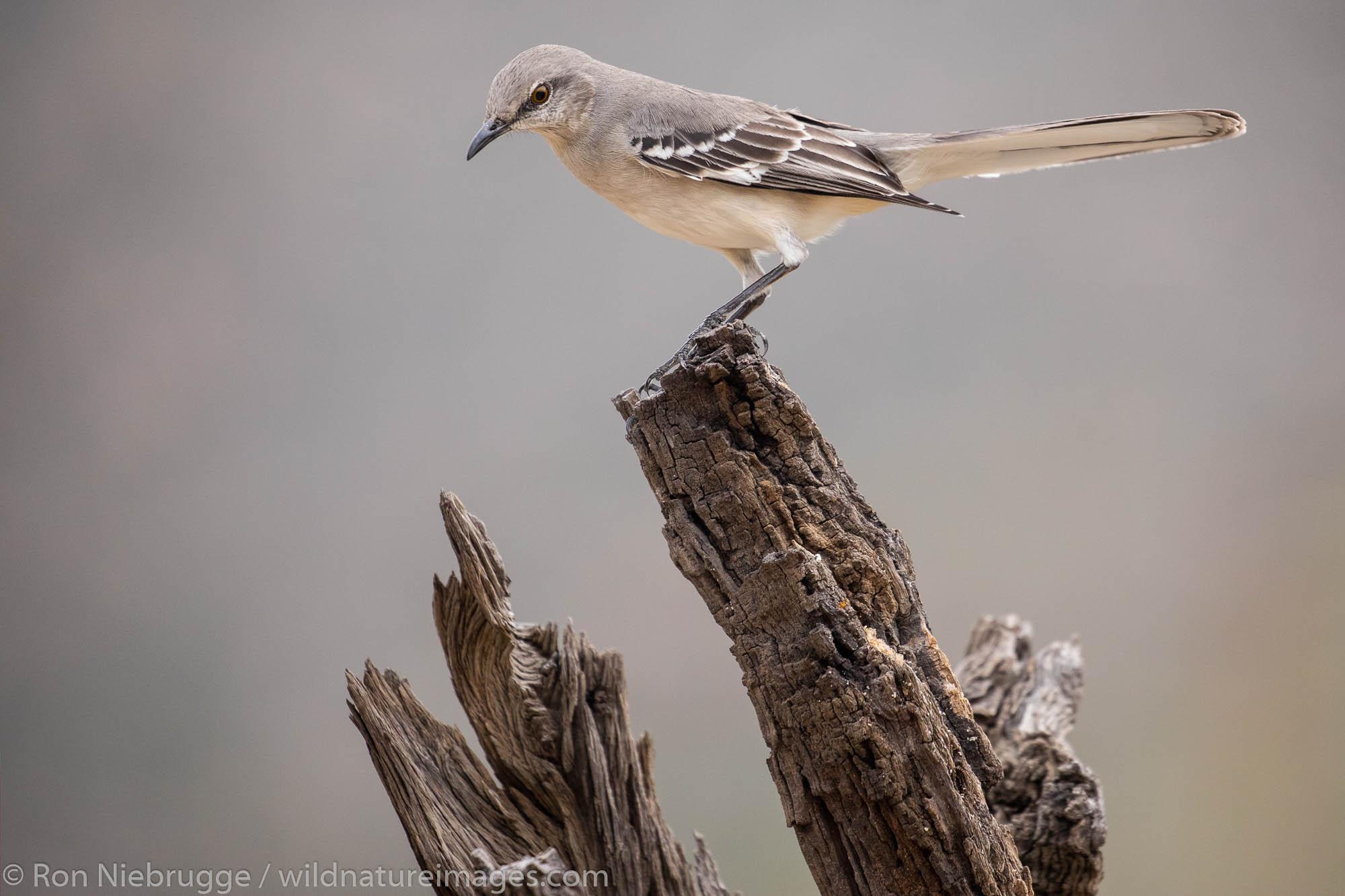 Northern Mockingbird, Tortolita Mountains, Marana, near Tucson, Arizona.