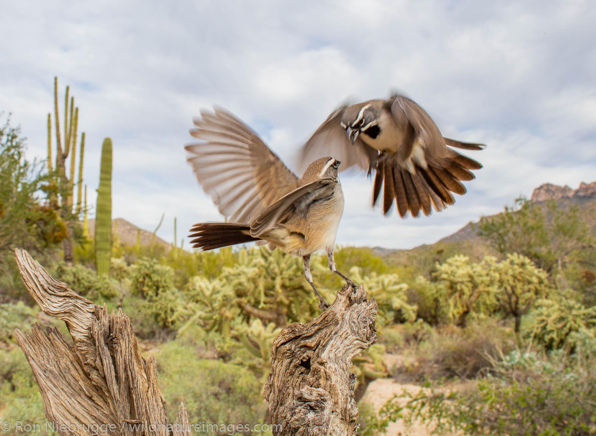 Tucson, Arizona, bird, photos, photo