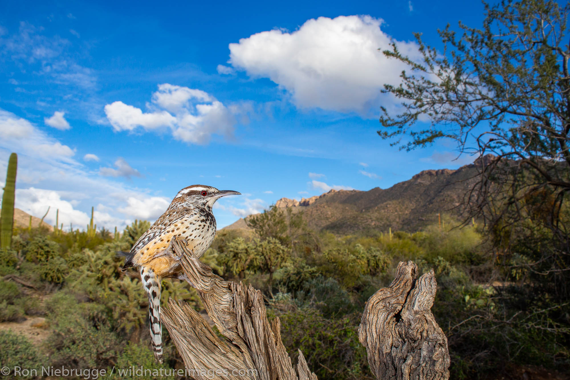 Cactus Wren, Tortolita Mountains, Marana, near Tucson, Arizona.