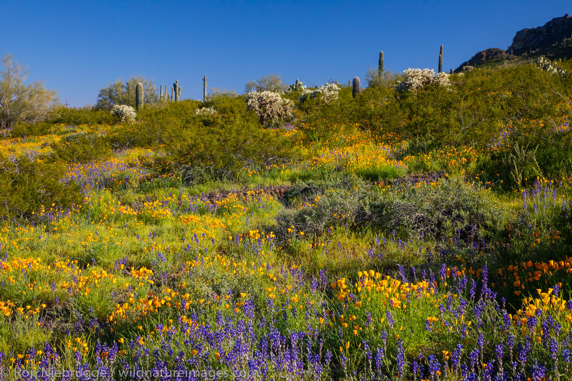 Wildflowers at Picacho Peak State Park, near Tucson, Arizona.