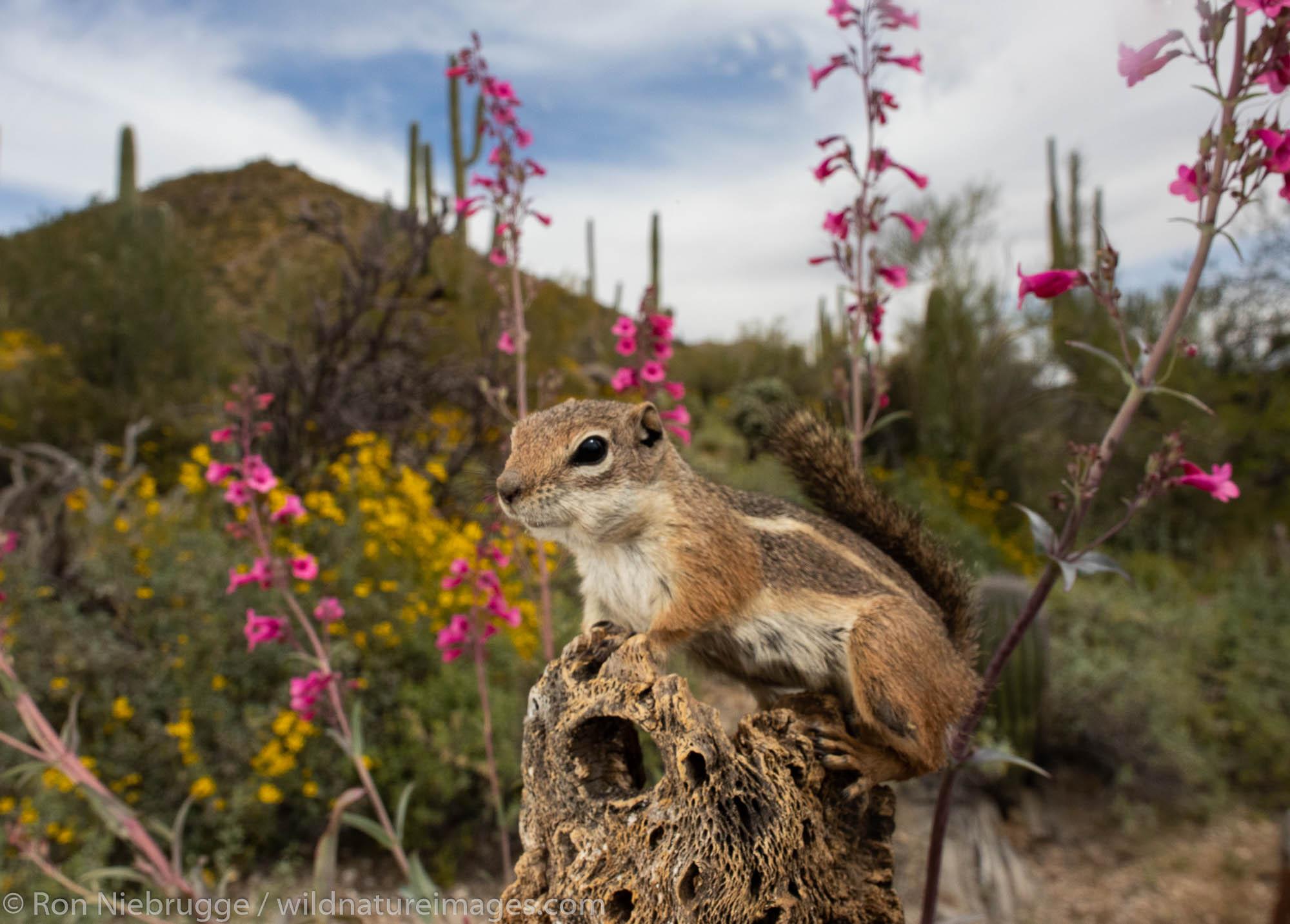 Antelope Ground Squirrel, Tortolita Mountains, Marana, near Tucson, Arizona.