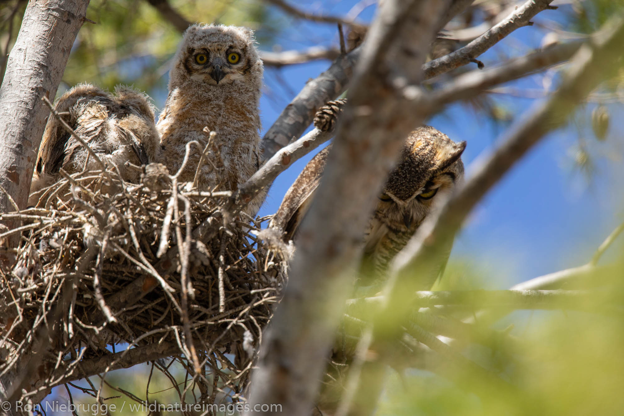 Great horned owl nest, Tucson, Arizona.