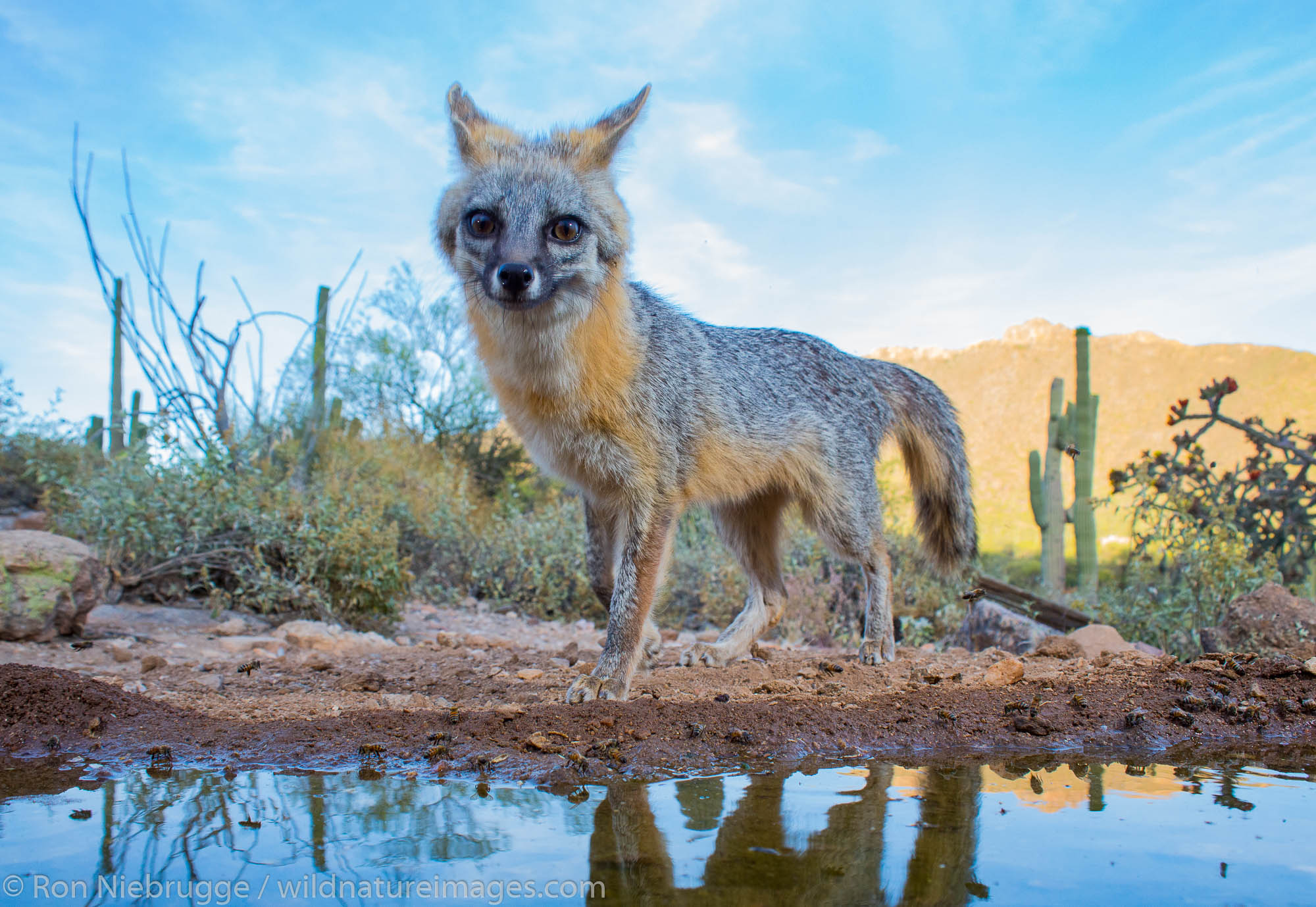 Gray Fox, Tortolita Mountains, Marana, near Tucson, Arizona.