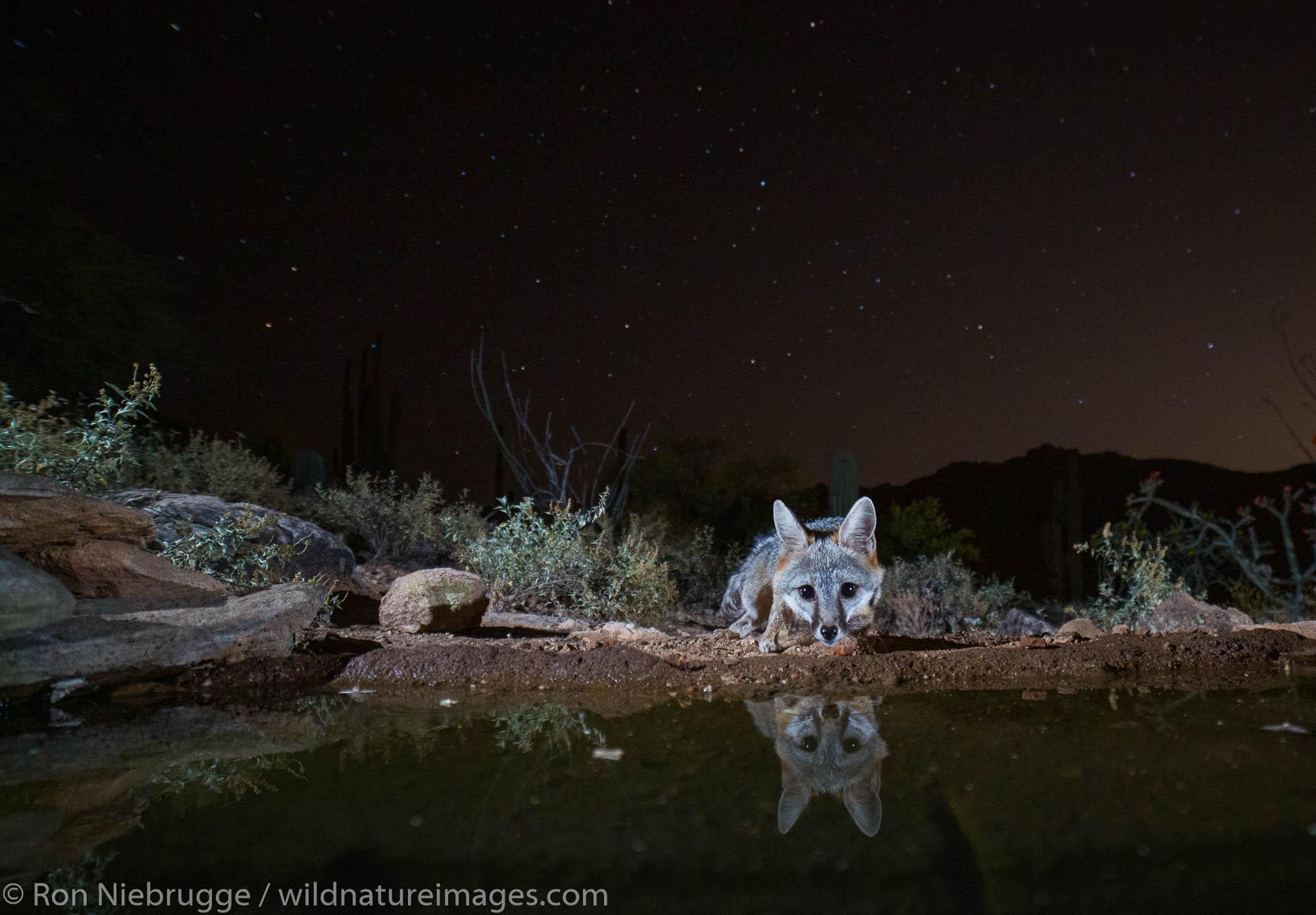 Gray Fox, Tortolita Mountains, Marana, near Tucson, Arizona.