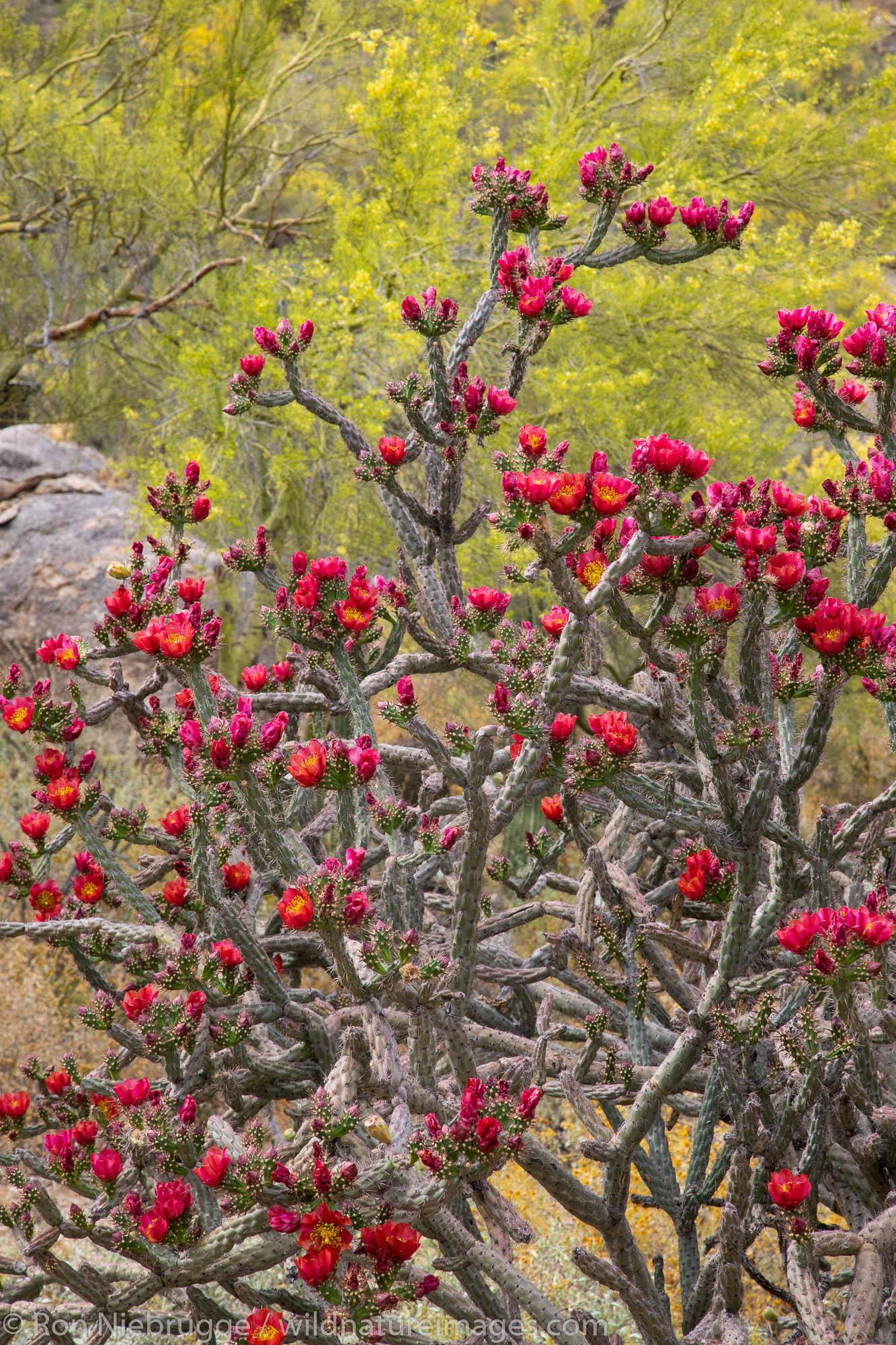 Cholla cactus flowers, Tortolita Mountains, Marana, near Tucson, Arizona.