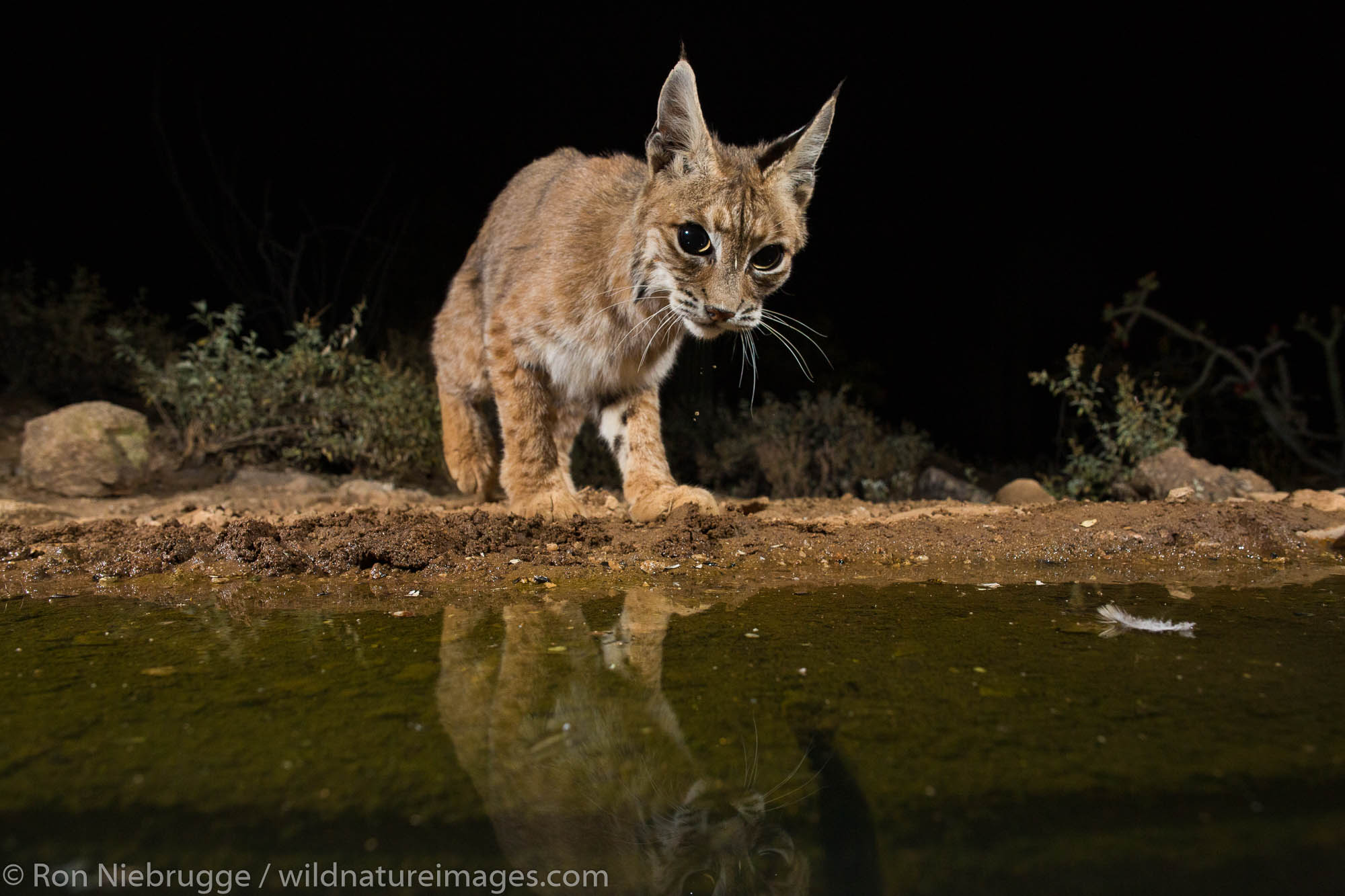 Bobcat, Tortolita Mountains, Marana, near Tucson, Arizona.
