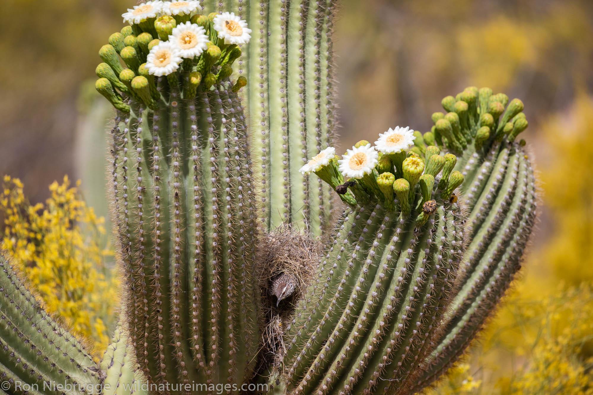 Nesting Cactus Wren, Tortolita Mountains, Marana, near Tucson, Arizona.