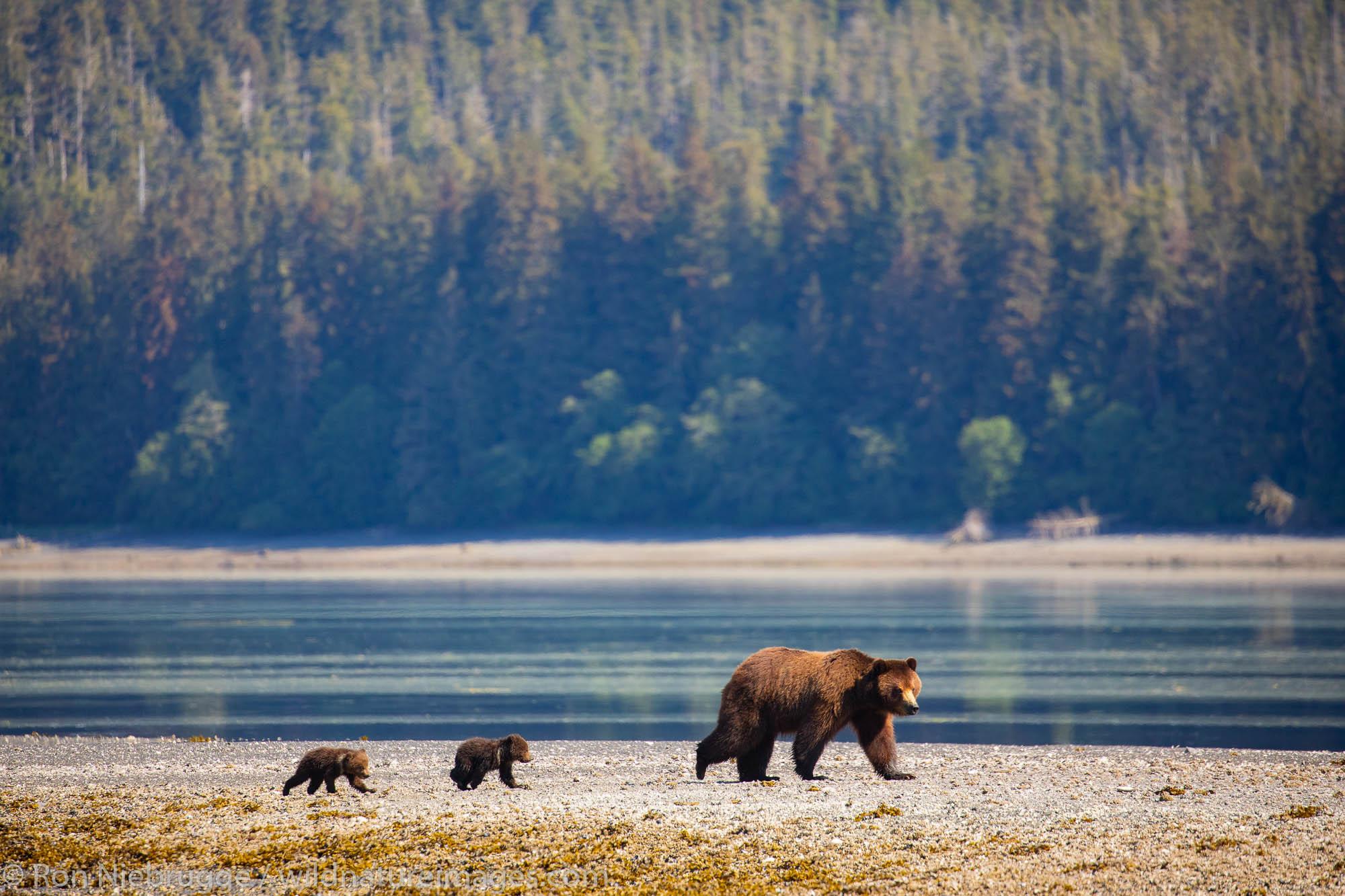 Brown bear familiy at Stan Price Wildlife Sanctuary, Pack Creek, Tongass National Forest, Alaska.