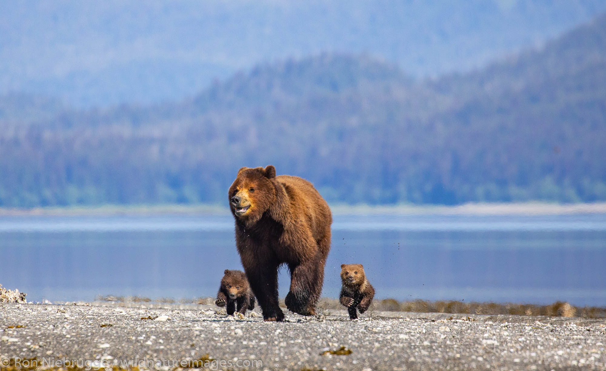 Brown bear familiy at Stan Price Wildlife Sanctuary, Pack Creek, Tongass National Forest, Alaska.