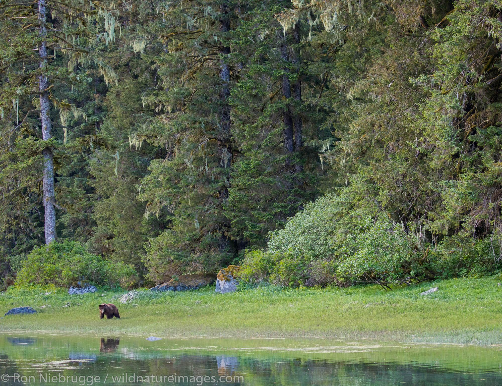 Brown Bear, Red Bluff, Baranof Island, Tongass National Forest, Alaska.