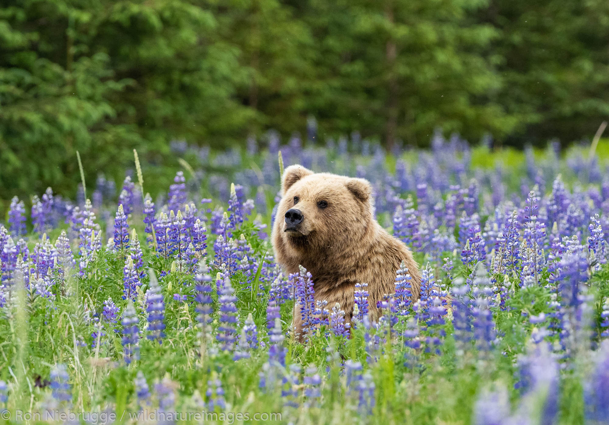 Lake Clark National Park, Alaska, , bear, photos, photo
