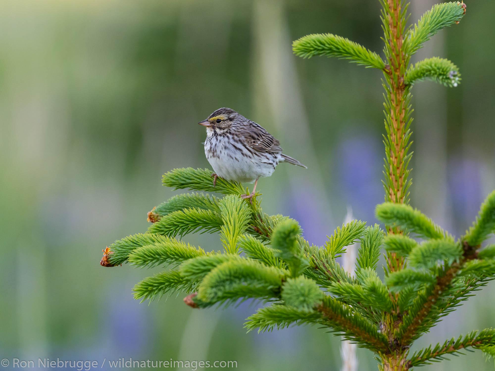 Savannah sparrow, Lake Clark National Park, Alaska.
