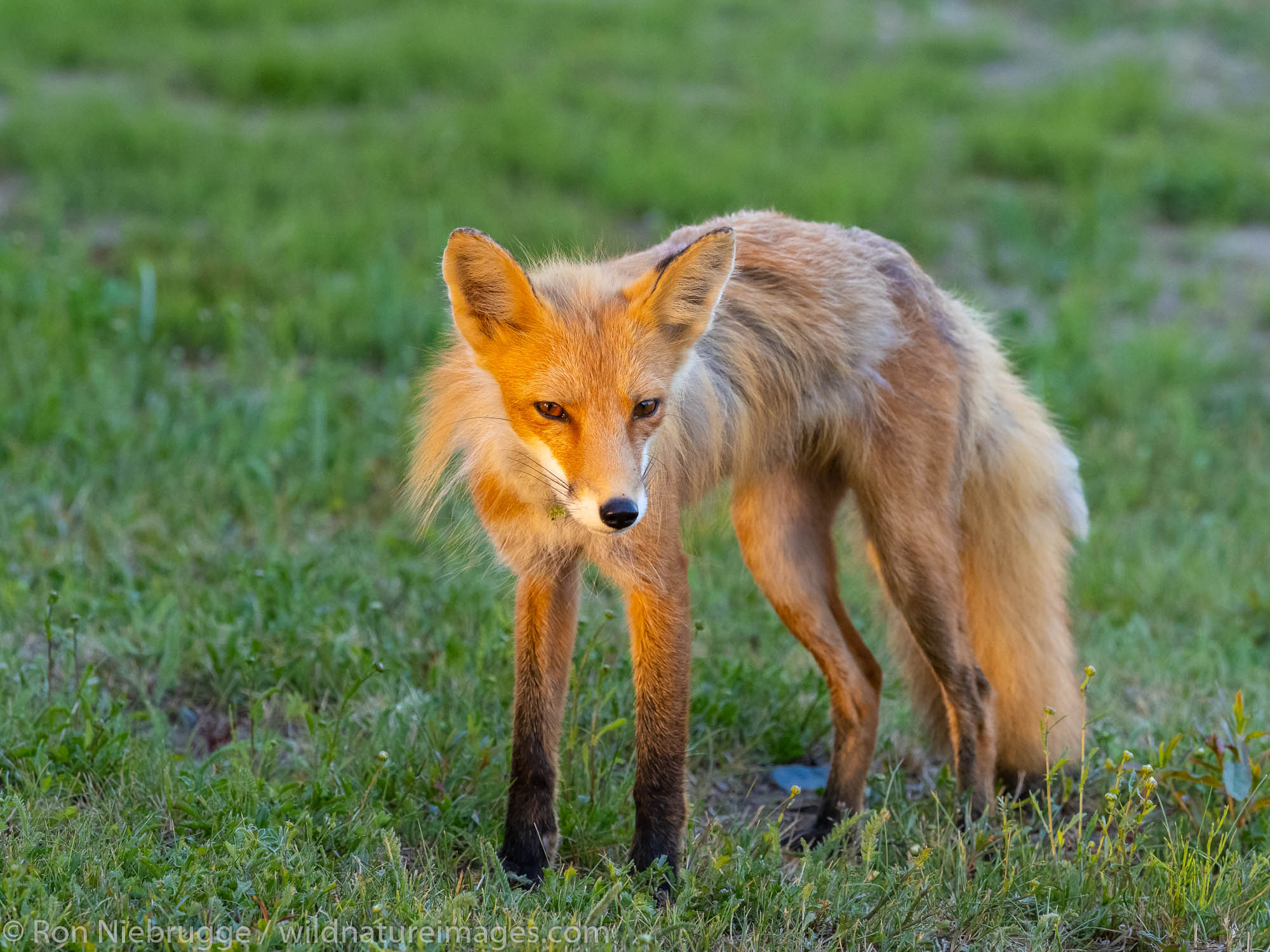 Red Fox, Lake Clark National Park, Alaska.