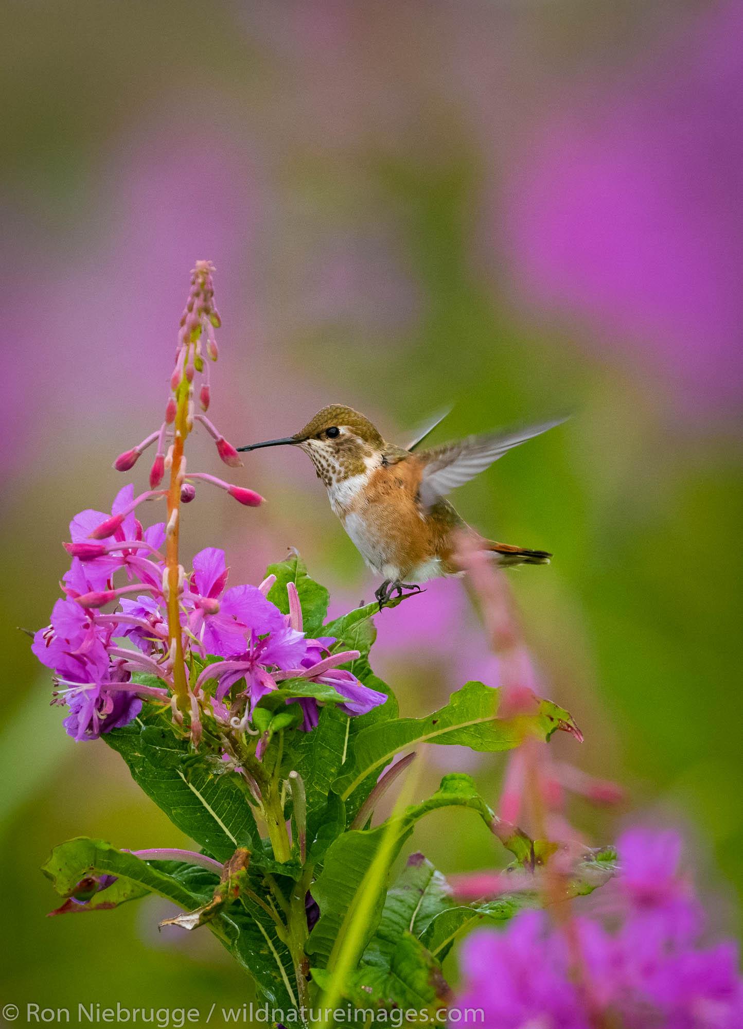 Rufous Hummingbird, Fireweed field, Tracy Arm, Tongass National Forest, Alaska.