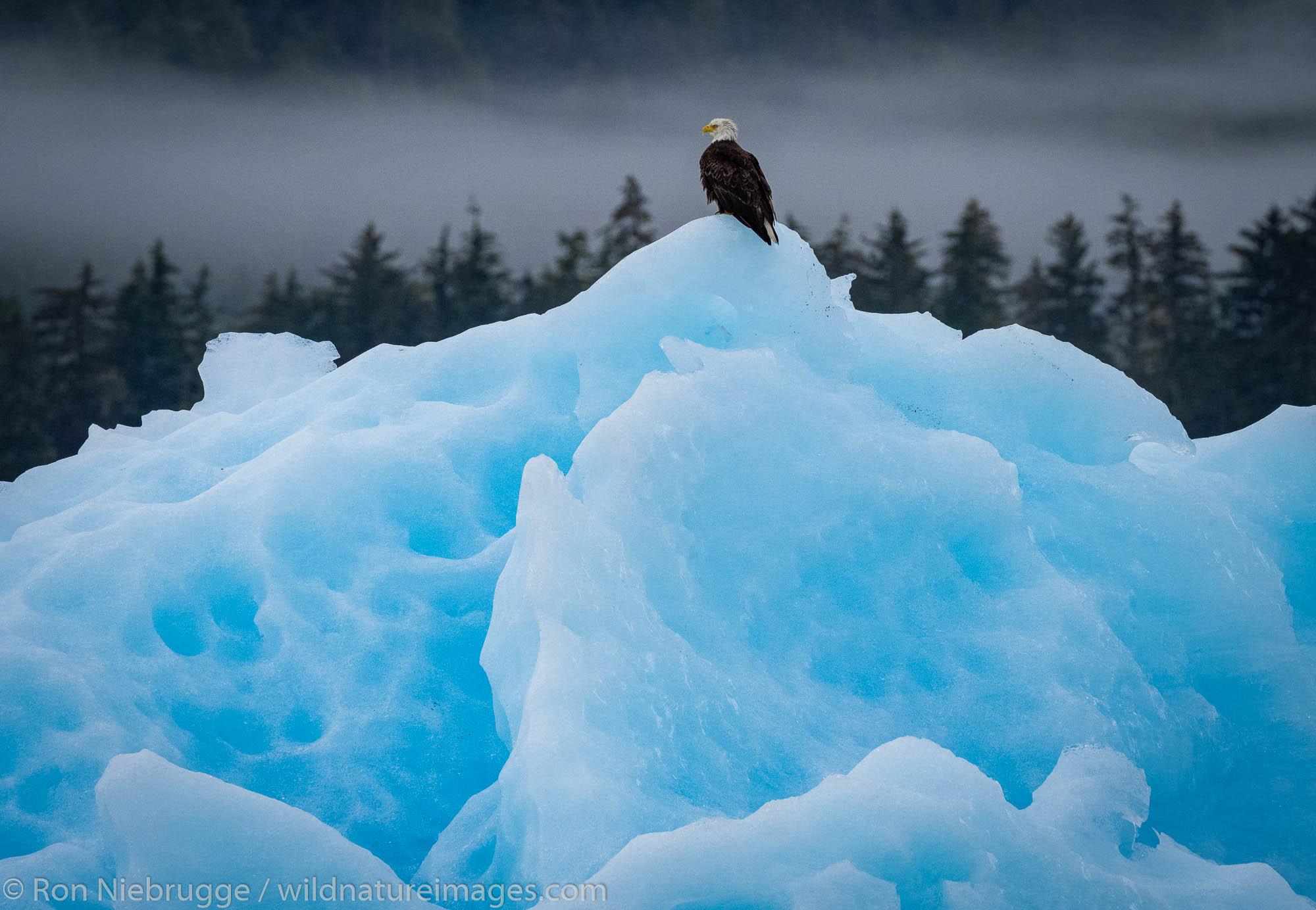Bald Eagle on iceberg.  Tracy Arm, Tongass National Forest, Alaska.