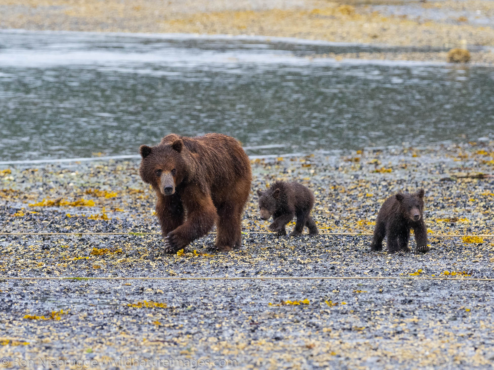 Brown bear sow with spring cubs, Pack Creek Bear Viewing Area on Admiralty Island, Tongass National Forest, Alaska.