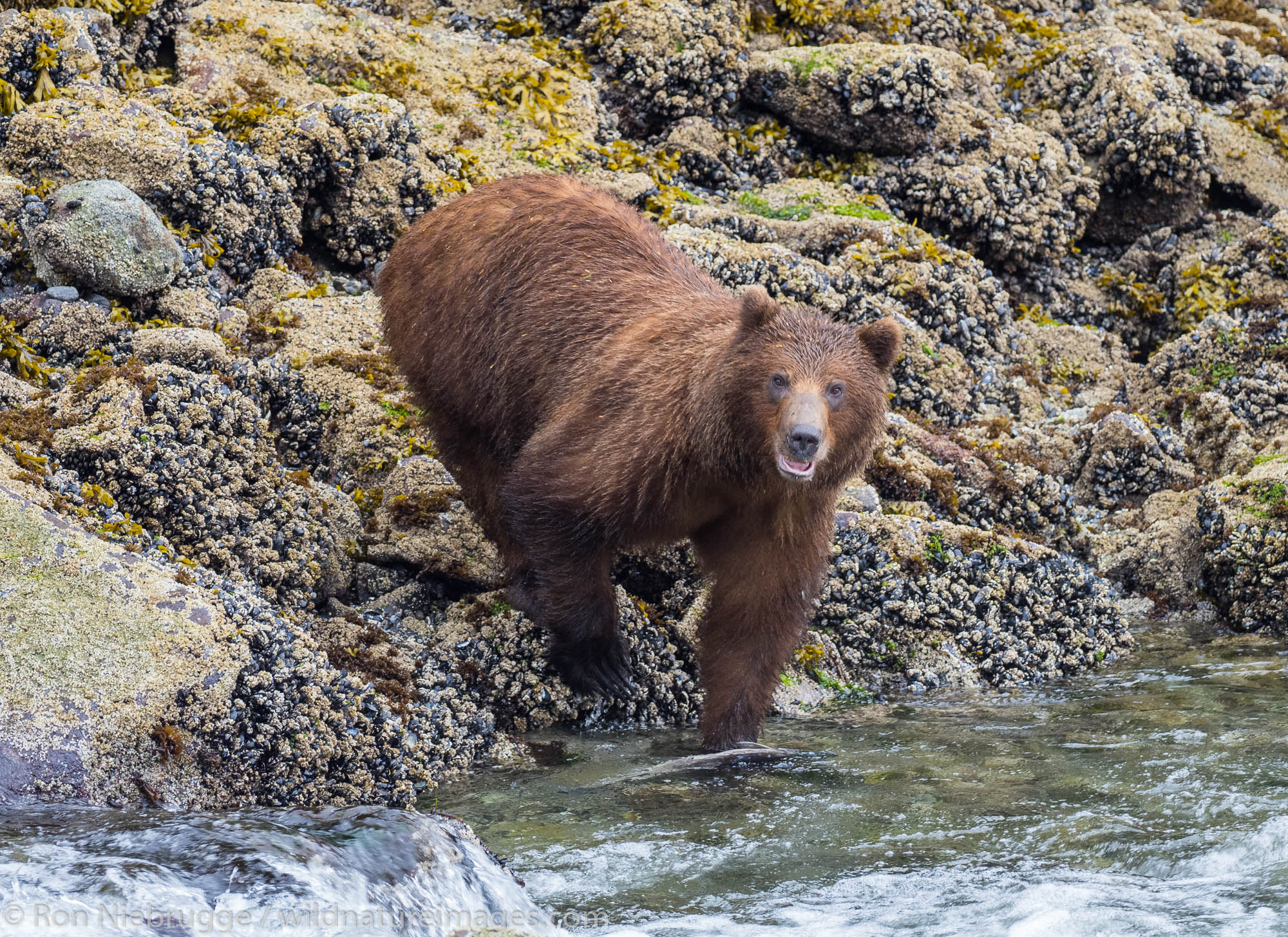 Brown bear, Baranof Island, Tongass National Forest, Alaska.