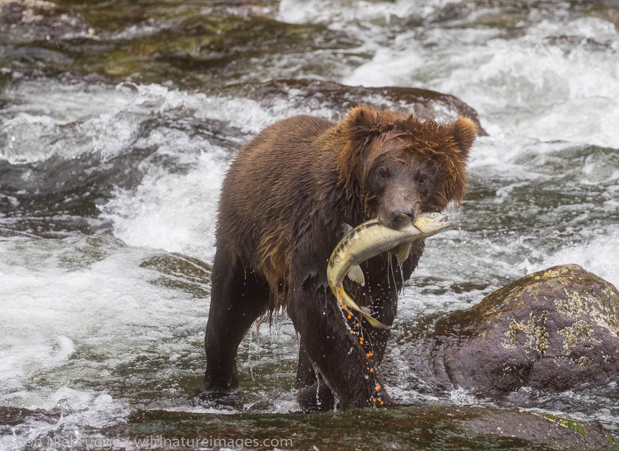 Brown bear, Baranof Island, Tongass National Forest, Alaska.
